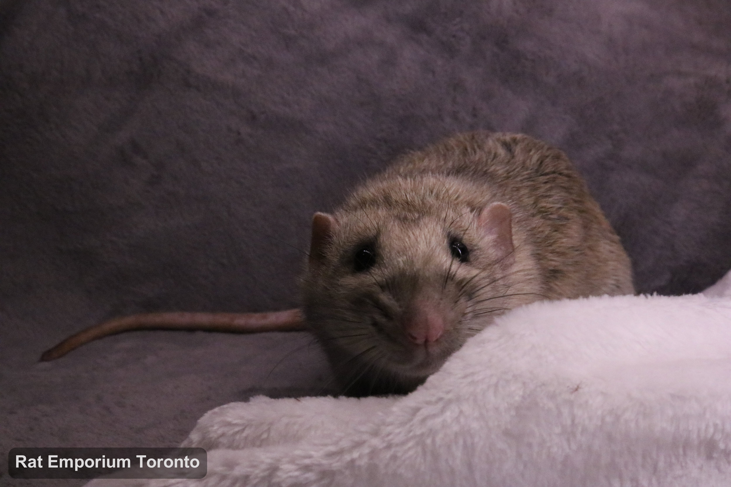 Trace, my silvermane agouti dumbo rat - born and raised at the Rat Emporium Toronto - adopt pet rats - rat breeder