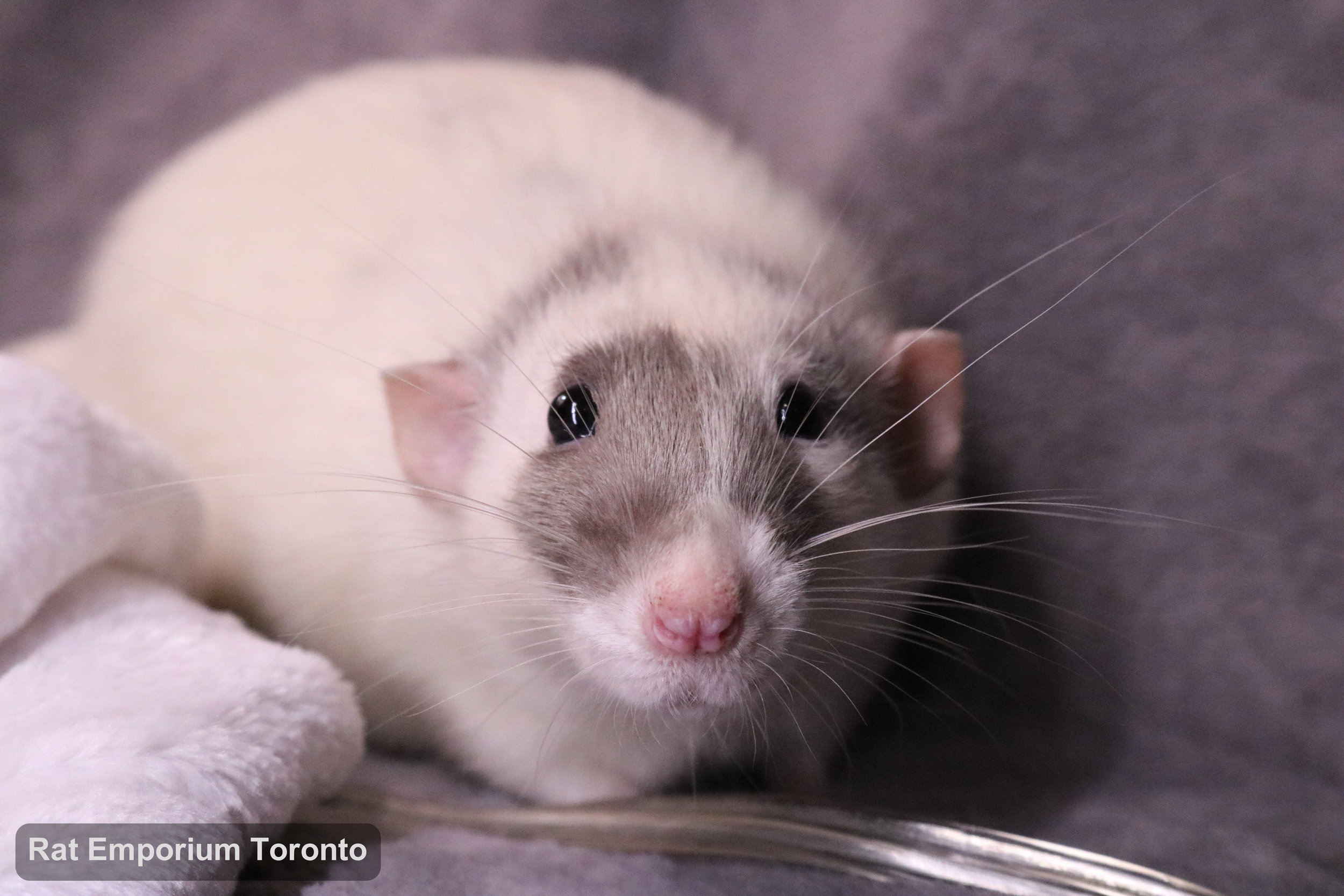Casper, my black silvermane capped rat - born and raised at the Rat Emporium Toronto - adopt pet rats - rat breeder