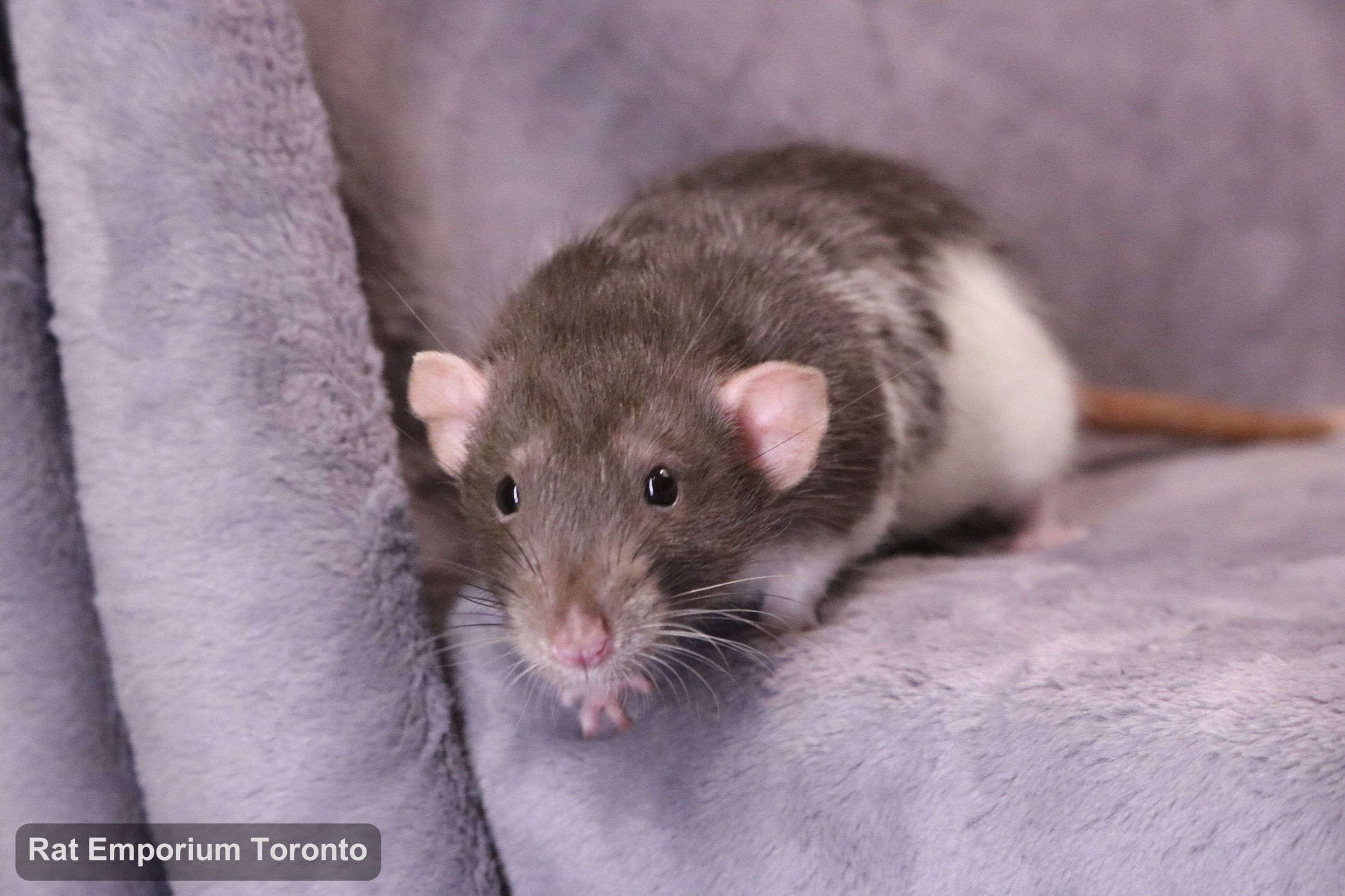 Eli, my mink variegated DU rat - born and raised at the Rat Emporium Toronto - adopt pet rats - rat breeder