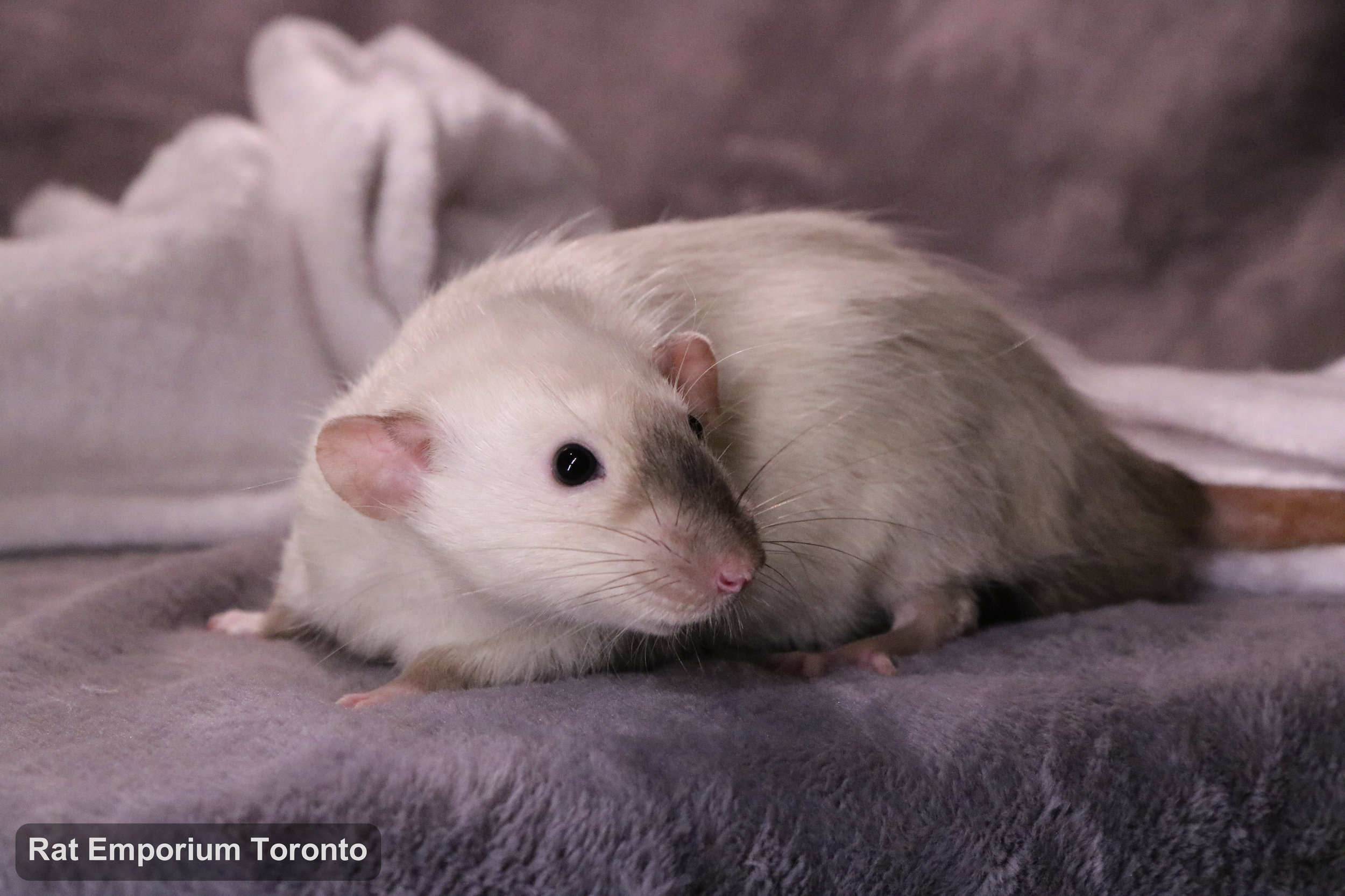 Dandan, my BE siamese dumbo rat - born and raised at the Rat Emporium Toronto - adopt pet rats - rat breeder