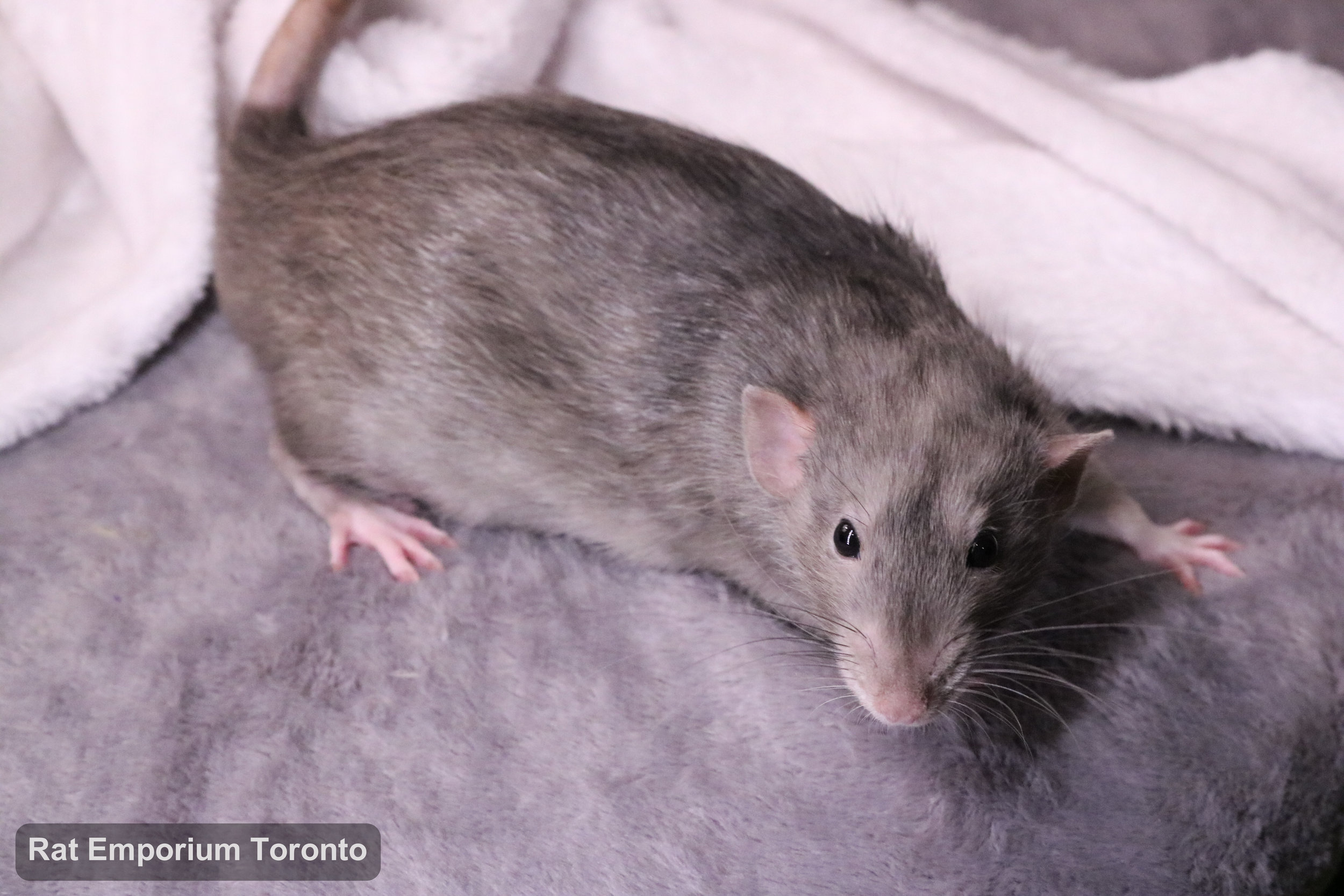 Otto, my black marble dumbo rat - born at True North Rattery and raised at the Rat Emporium Toronto - adopt pet rats - rat breeder