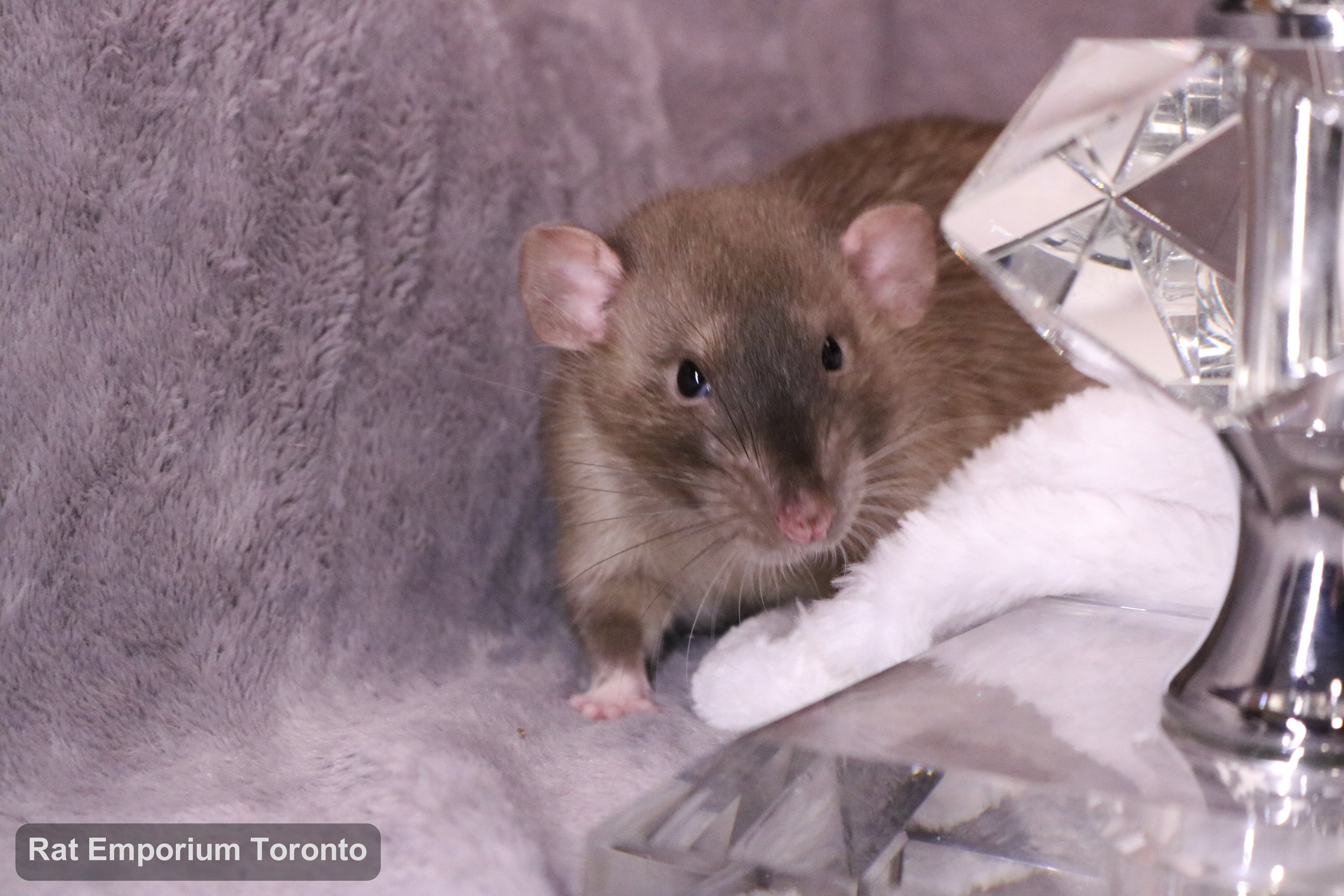 Truffle, my sable dumbo rat - born and raised at the Rat Emporium Toronto - adopt pet rats - rat breeder