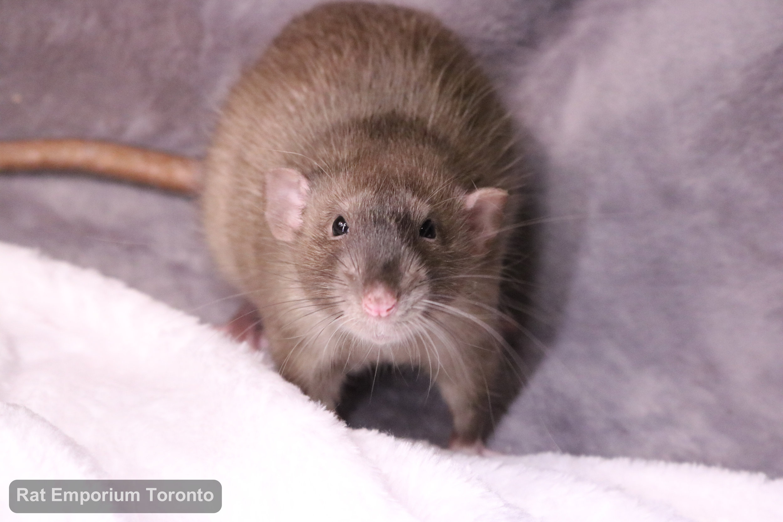 Truffle, my sabledumbo rat - born and raised at the Rat Emporium Toronto - adopt pet rats - rat breeder