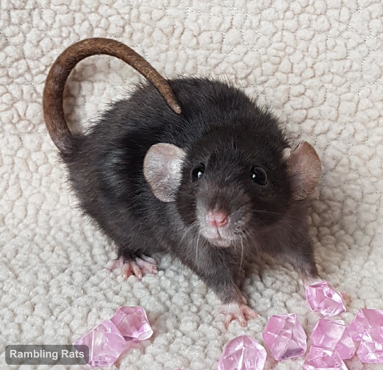black dwarf rat