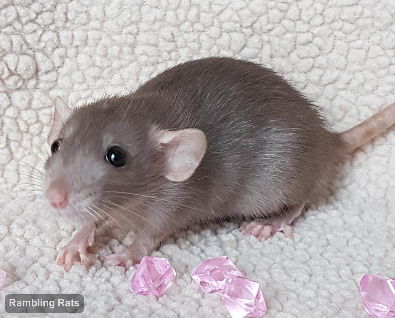 mink dwarf rat