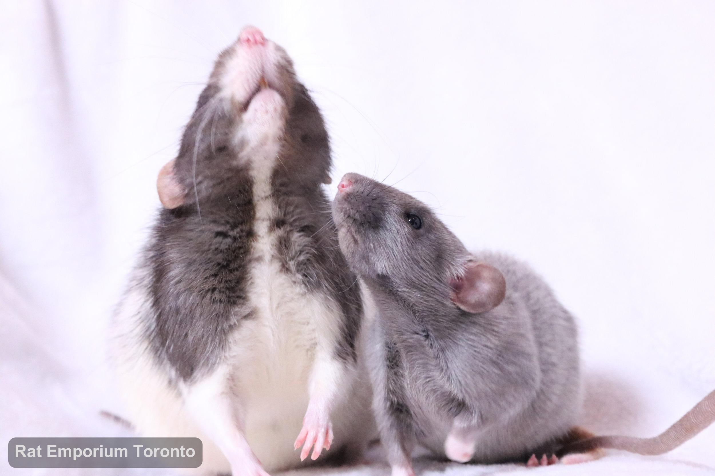black and white variegated dumbo rat, mink dumbo rat, black silvermane dumbo rat - born and raised at Rat Emporium Toronto - pet rat breeder - adopt pet rats Toronto