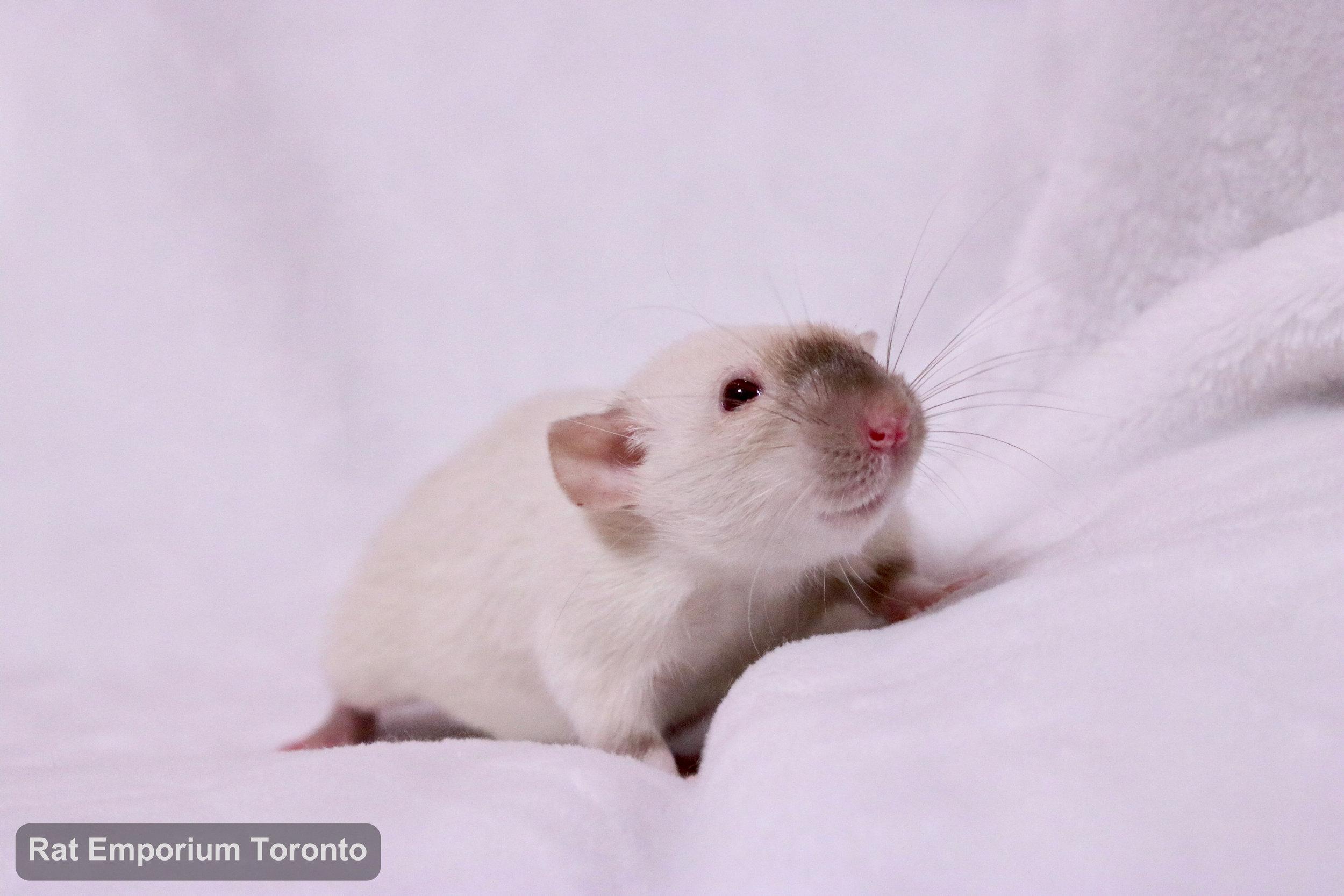 female siamese dumbo rat - born and raised at the Rat Emporium Toronto - rat breeder - adopt pet rats Toronto