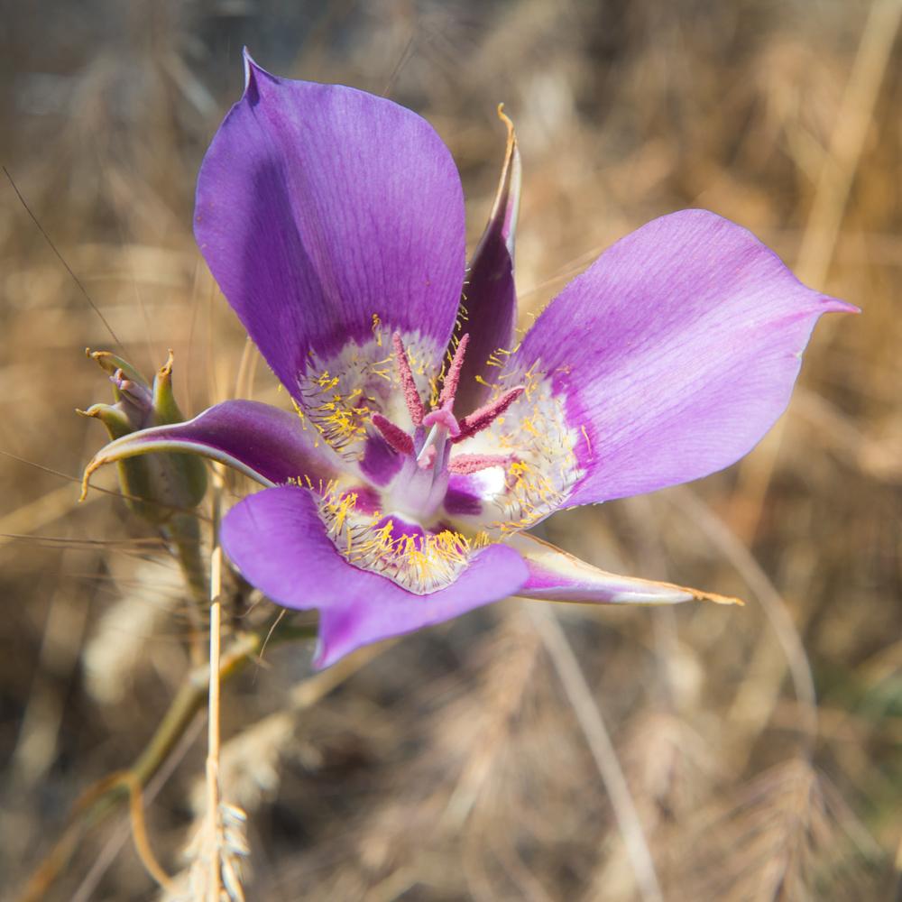 Sagebrush mariposa lily - Calochortus macrocarpus