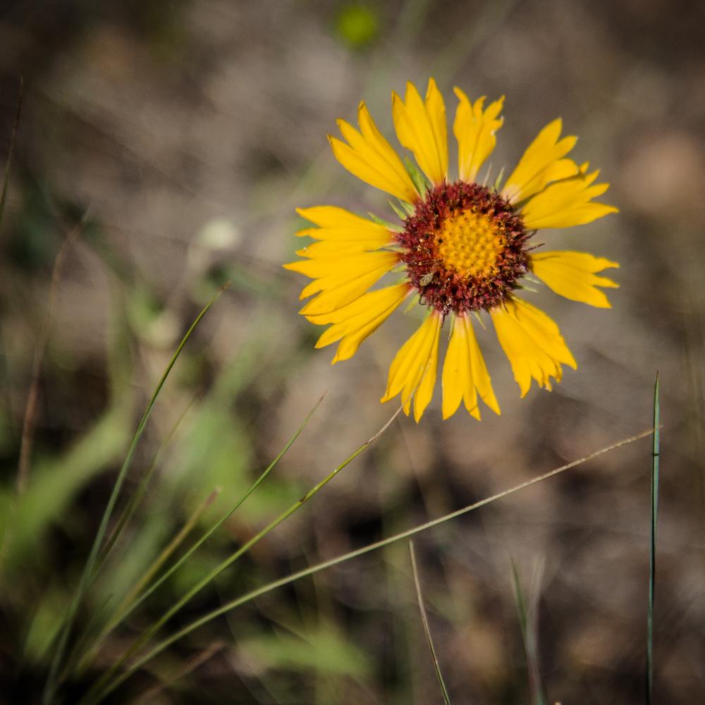 Blanketflower - Gaillardia sp.