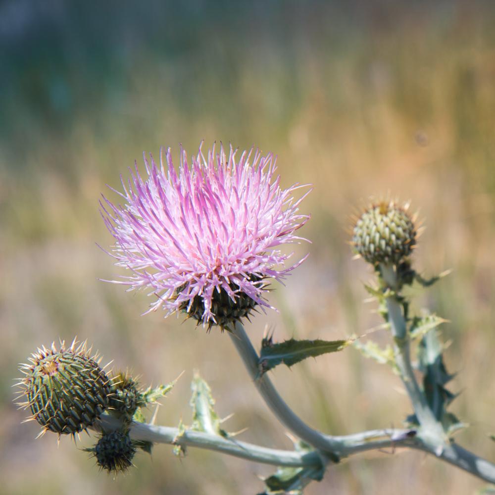 Wavyleaf Thistle – Cirsium undulatum (native)