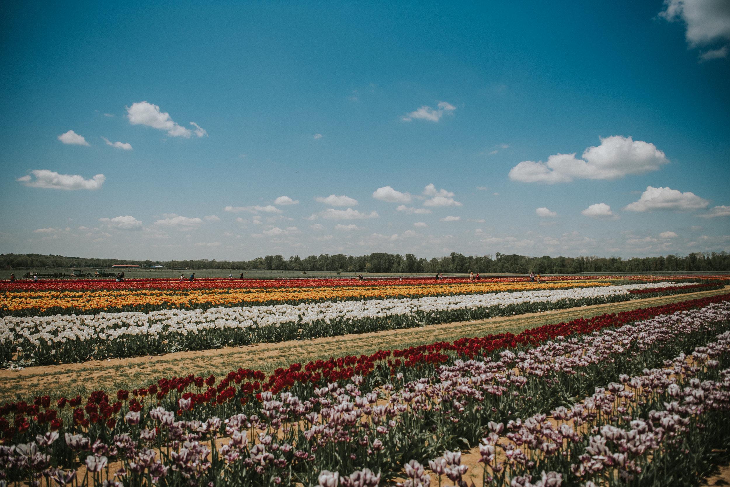 Tulips-57.jpg