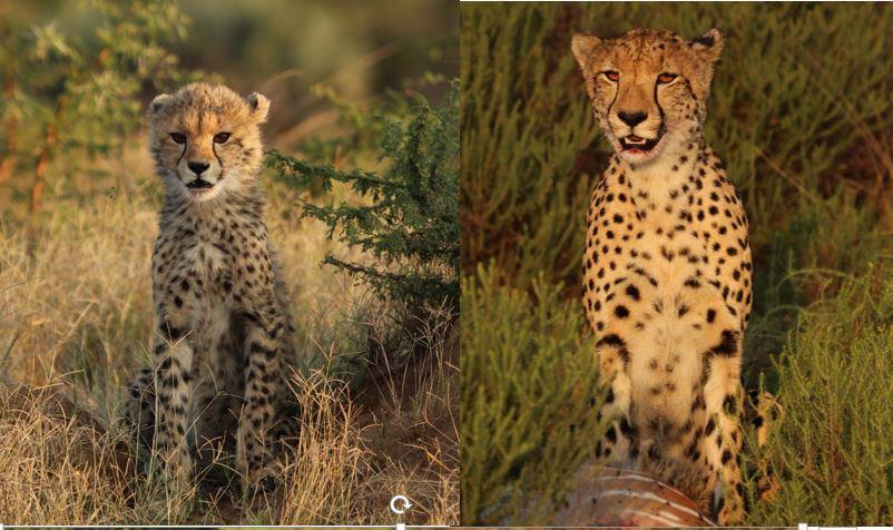 comparison cheetah