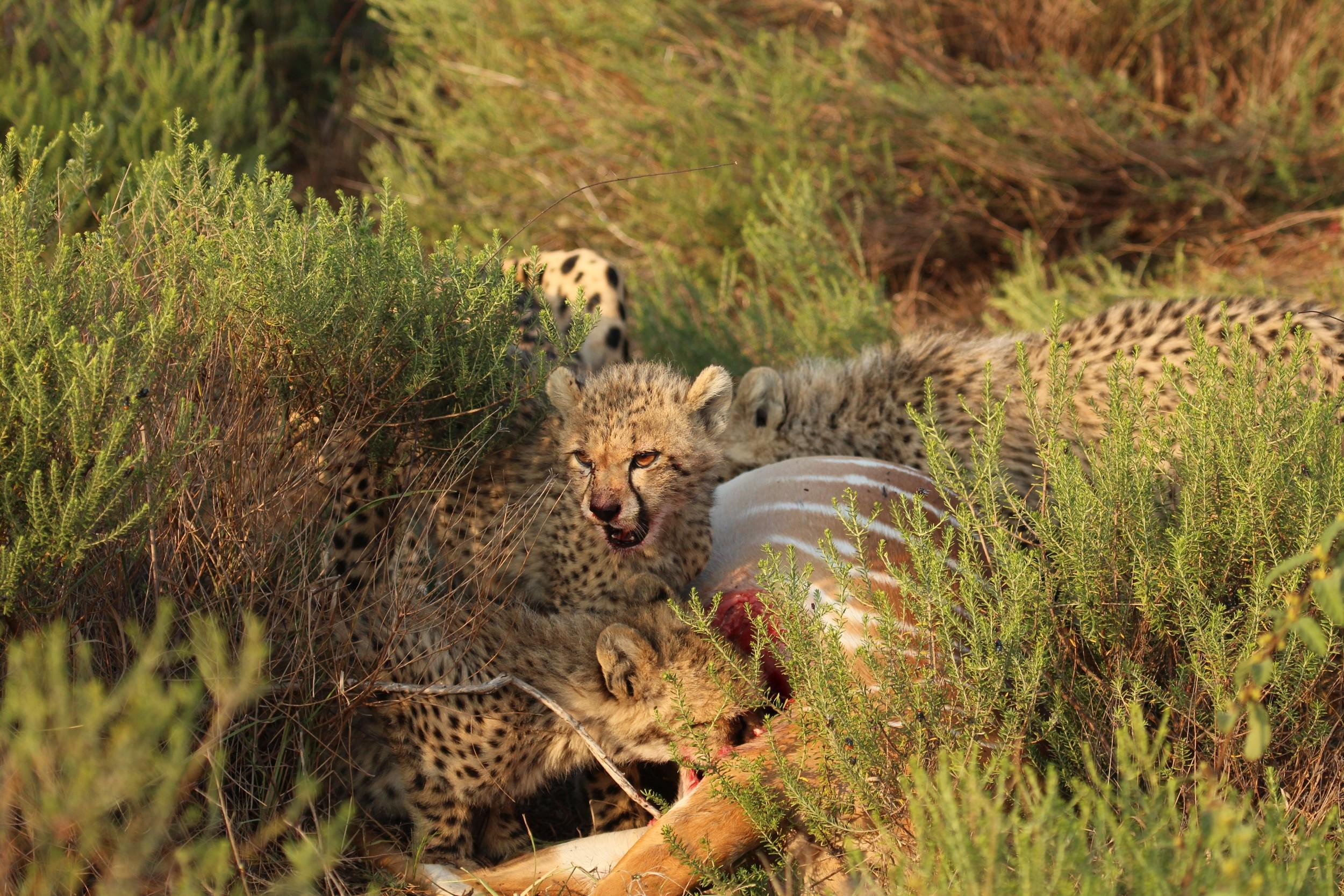 fierce baby cheetah