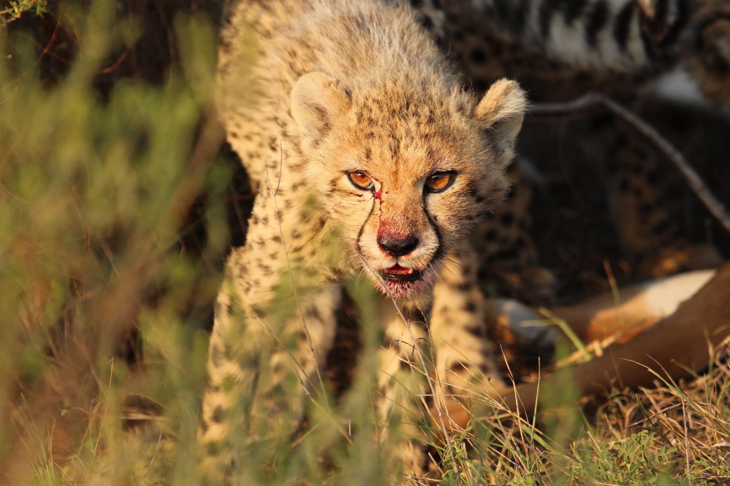 feeding baby cheetah