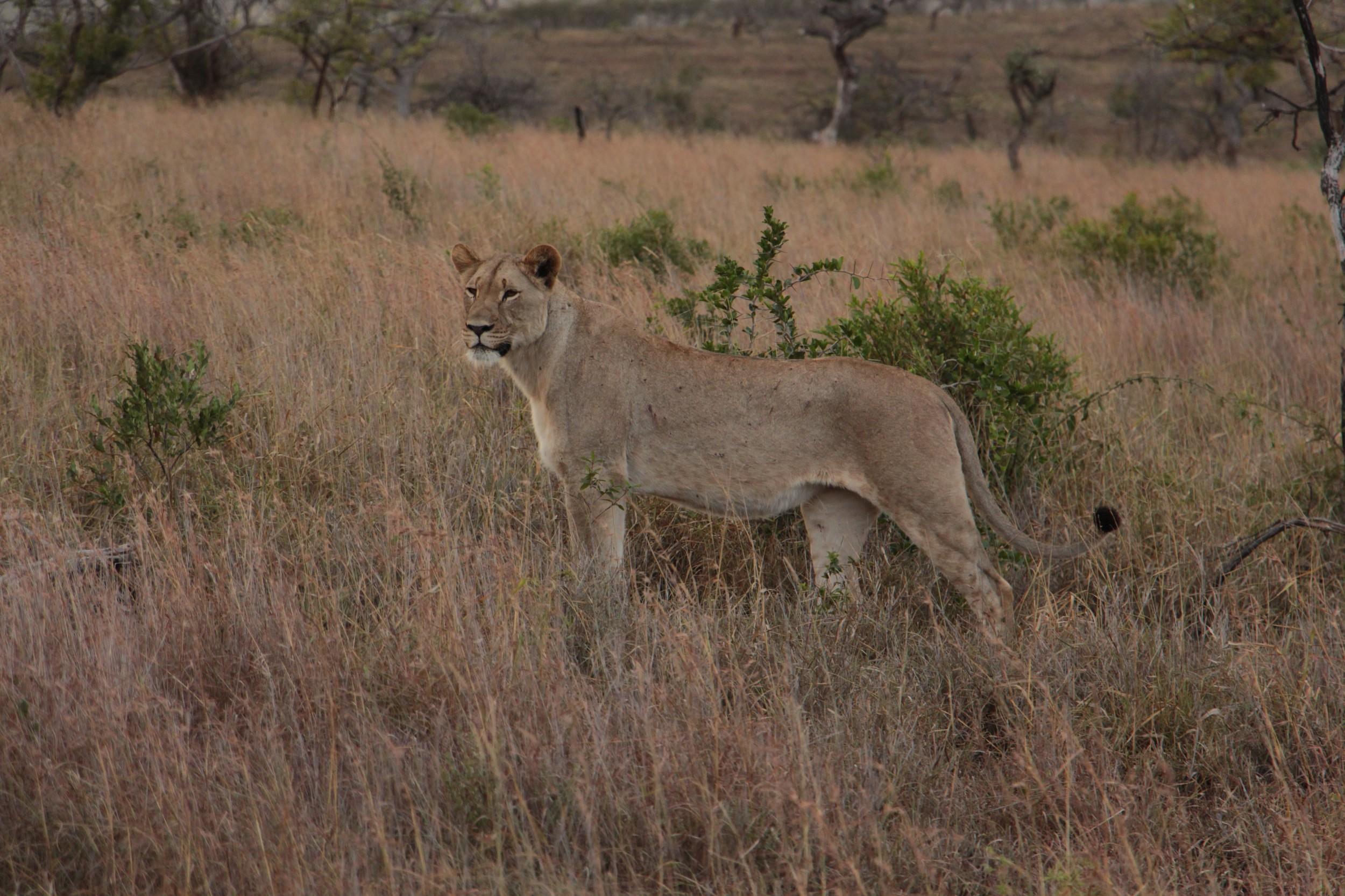 alert lionness