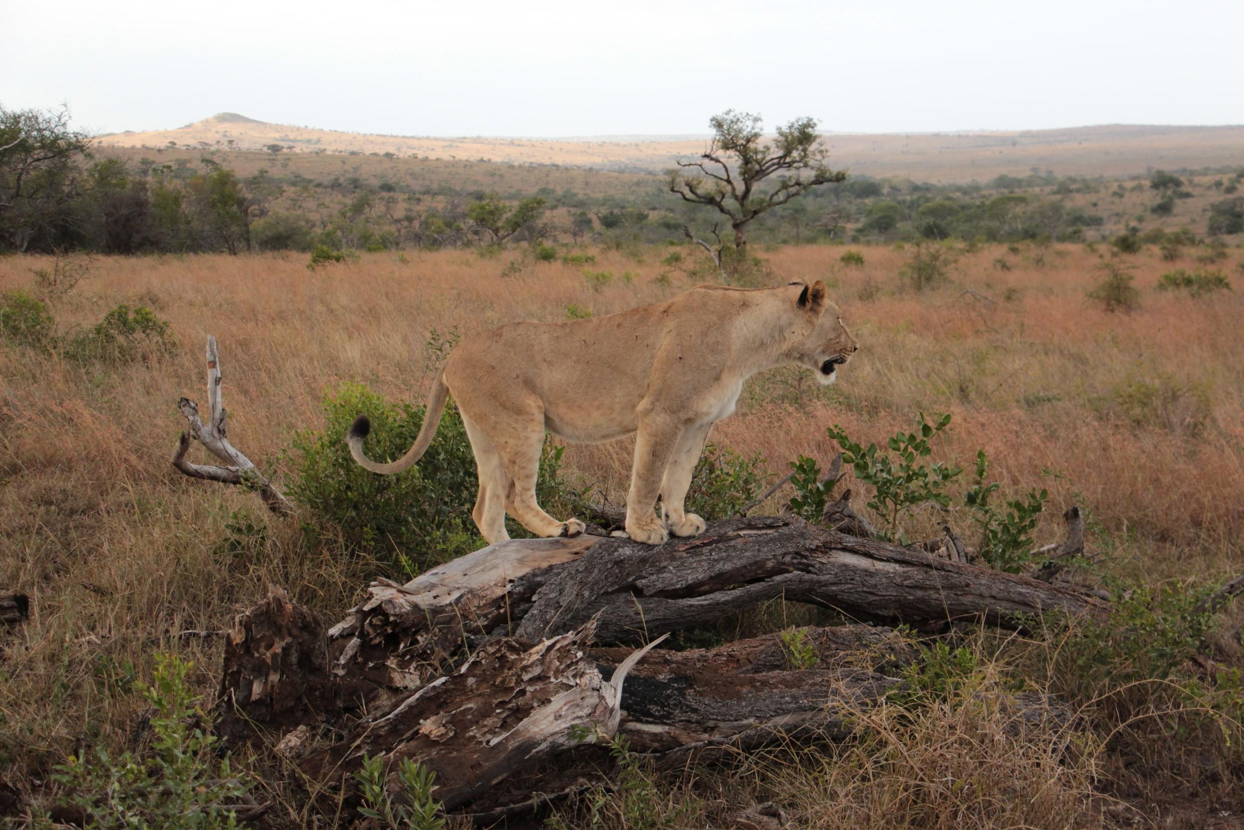 lookout lionness