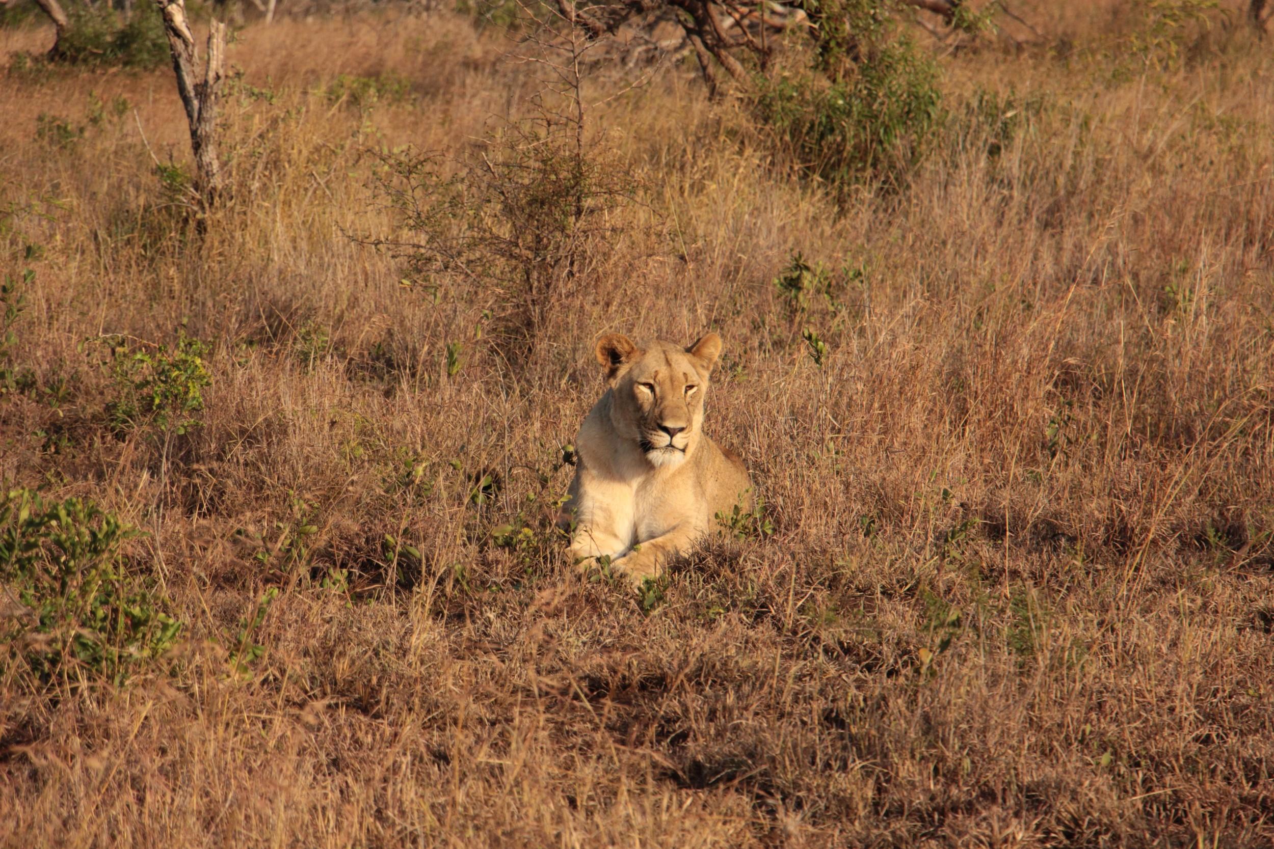 lost lionness