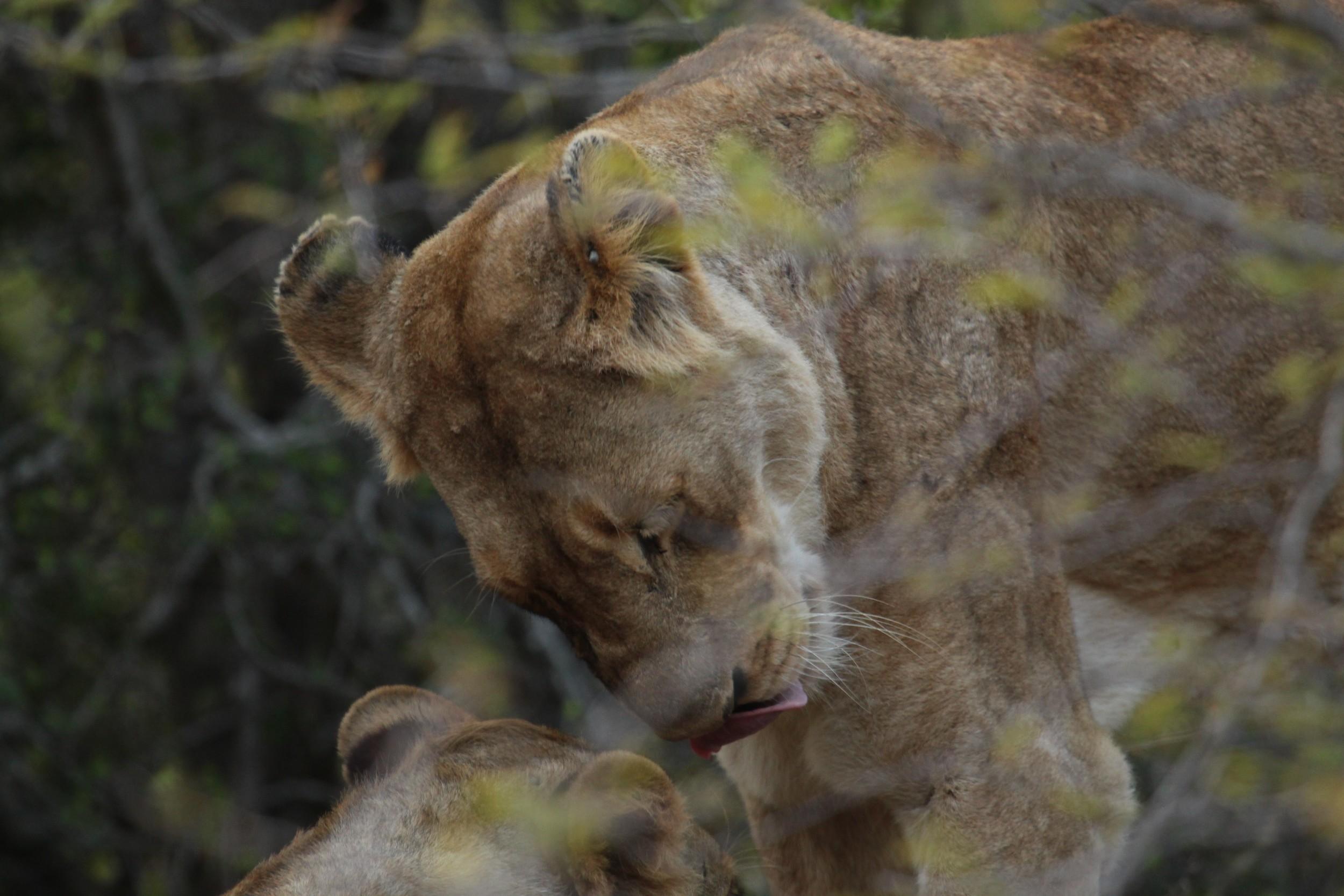 lion head bump