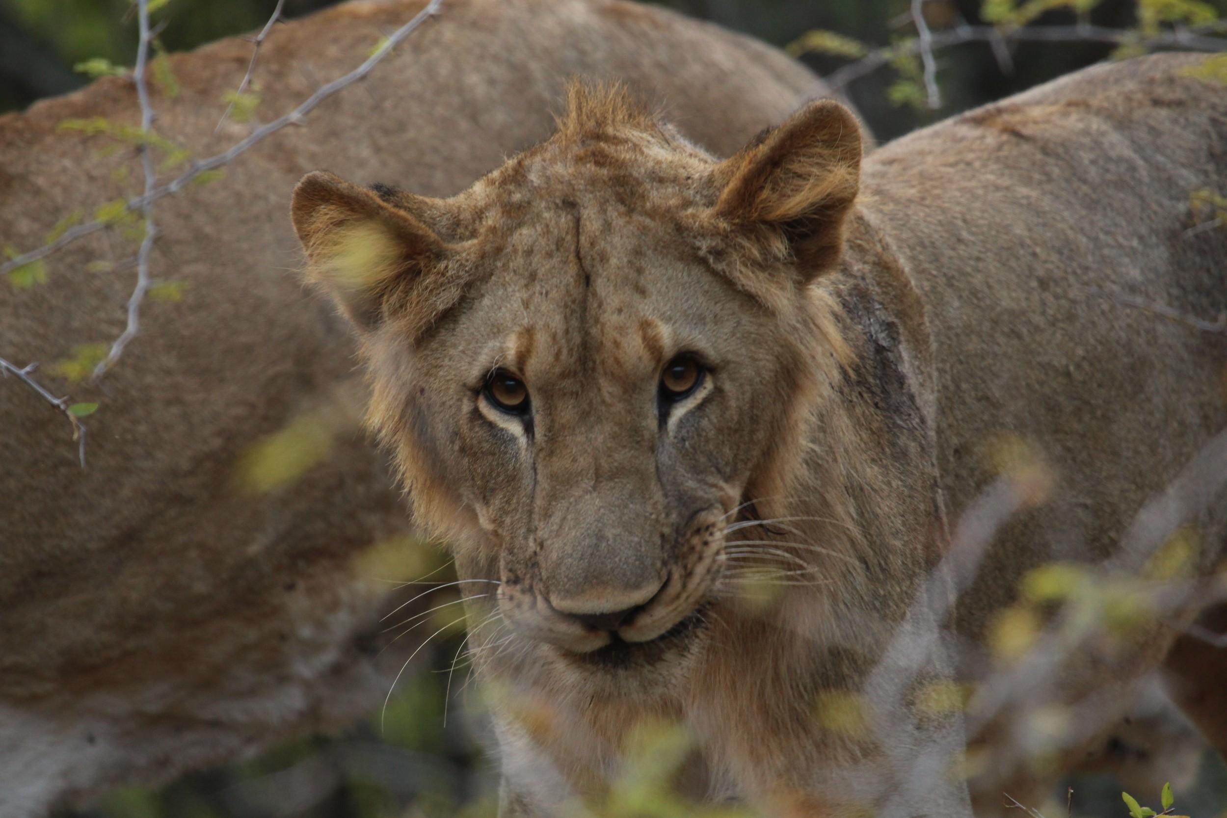 photogenic lion