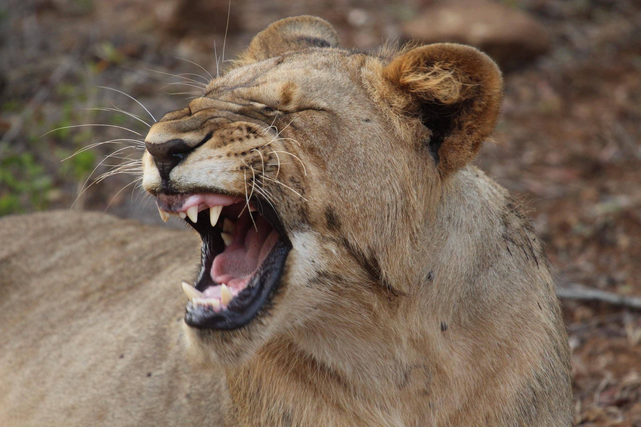 grandma lion big teeth
