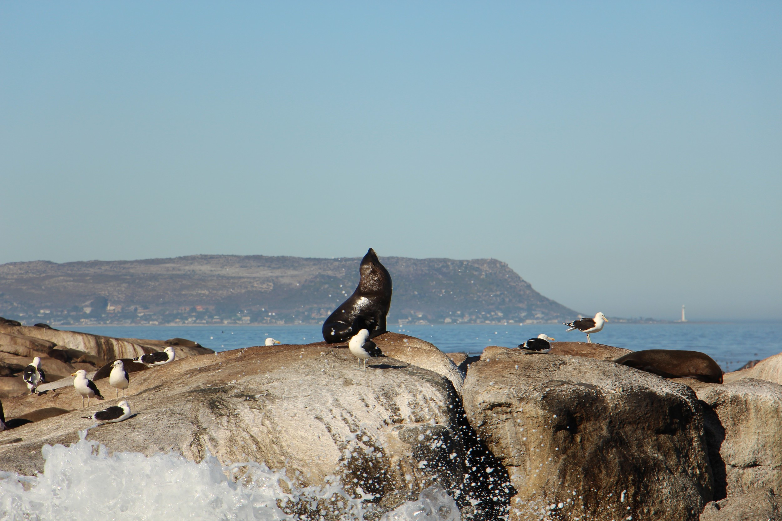 hout bay seal