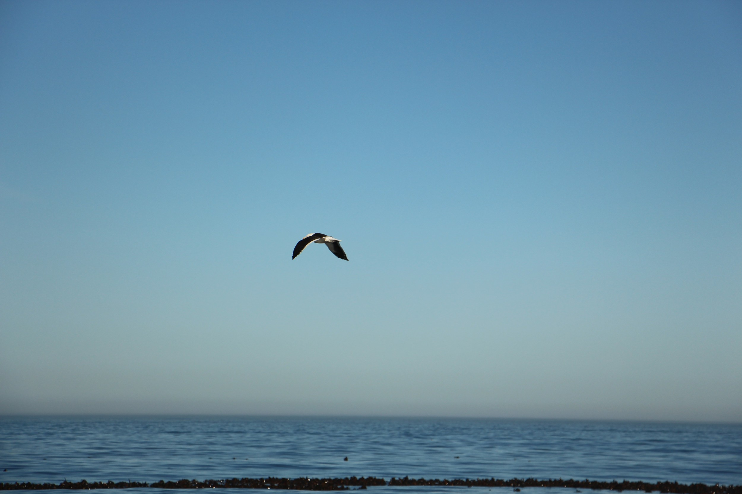 hout bay seagull