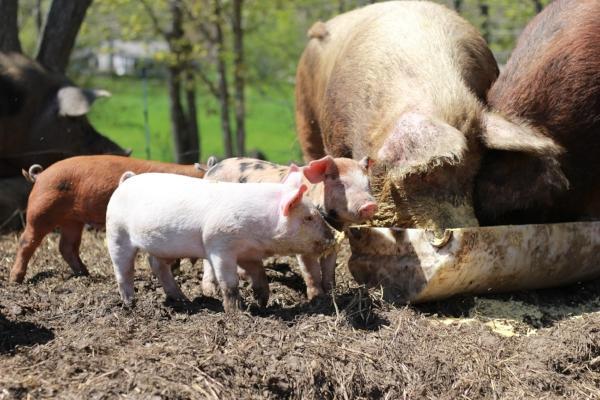 SILO's Non-GMO spent grains get sent to SpringMore Farm to help feed their pigs.