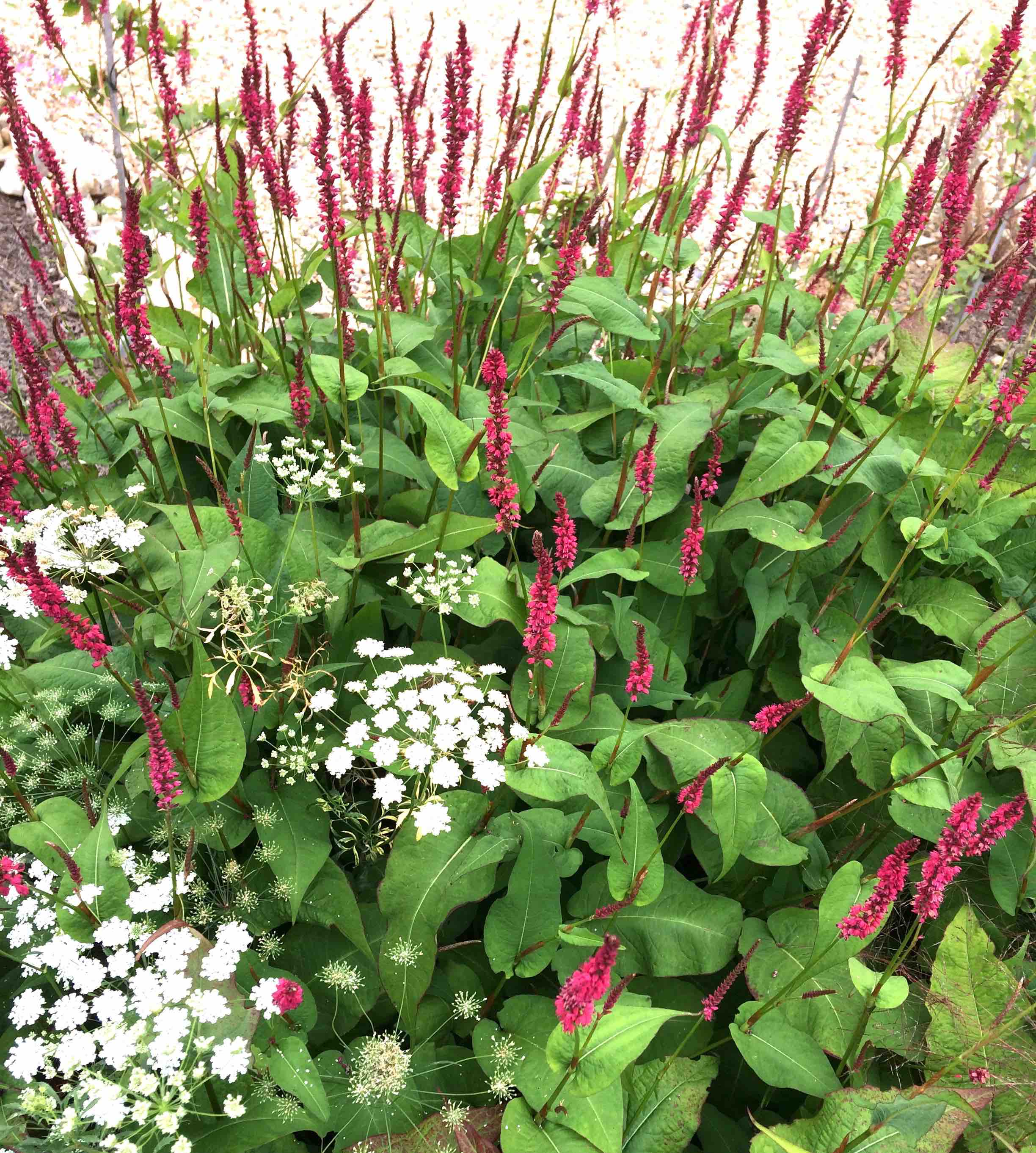 Persicaria and Ammi major