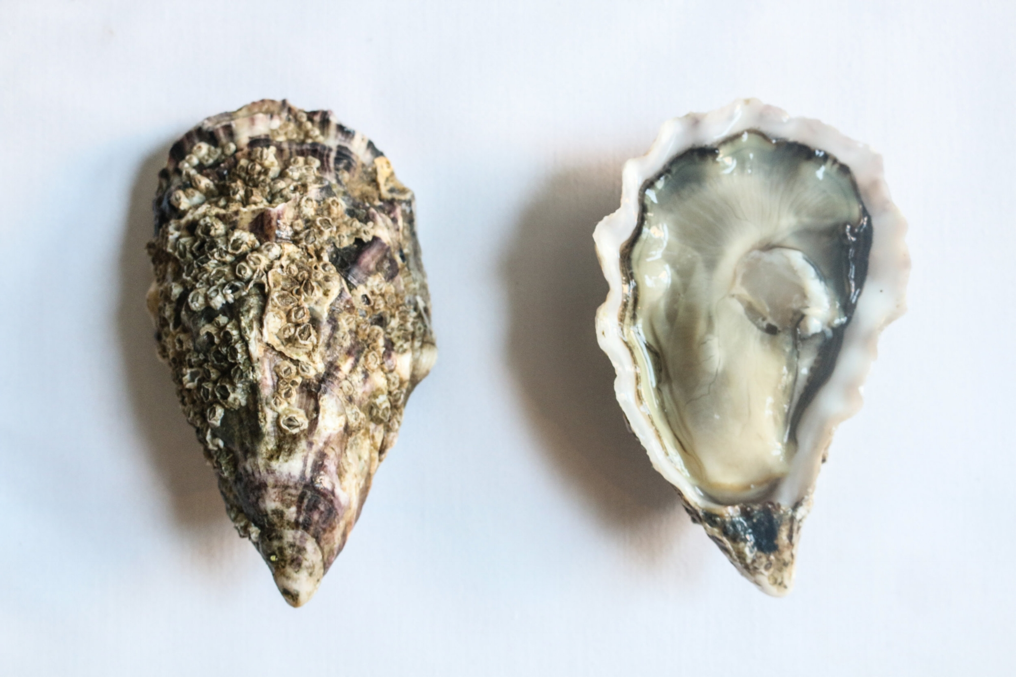 Whitstable Rock Oysters