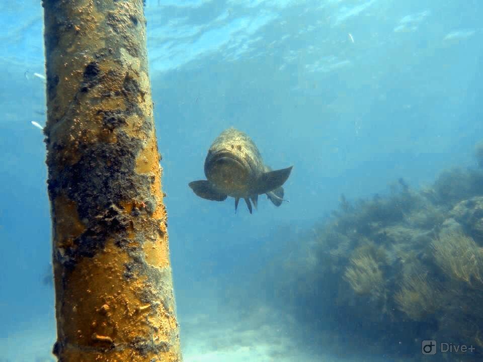 Goliath Grouper on Looe Key Reef