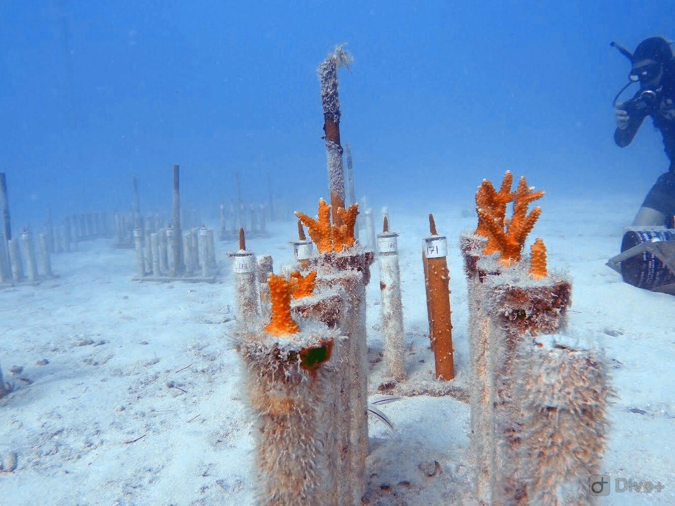 Baby corals in the block nursery