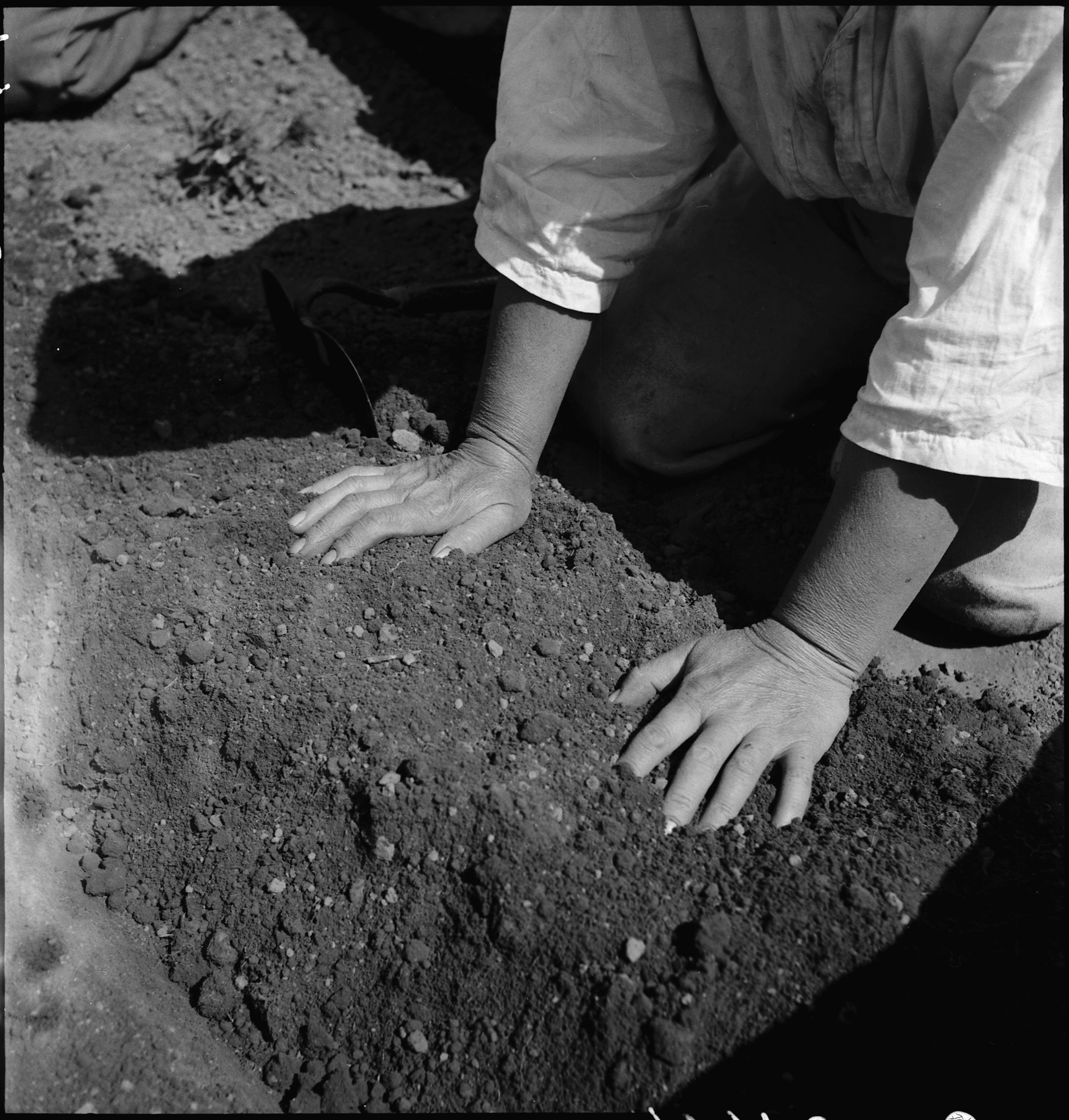 Centerville, California. Hands of woman farm- worker preparing soil for transplanting tomato plants, in a field in Alameda County, California, several weeks before evacuation. Farmers and other evacuees of Japanese ancestry will be given opportunities to follow their callings in War Relocation Authority centers where they will spend the duration.