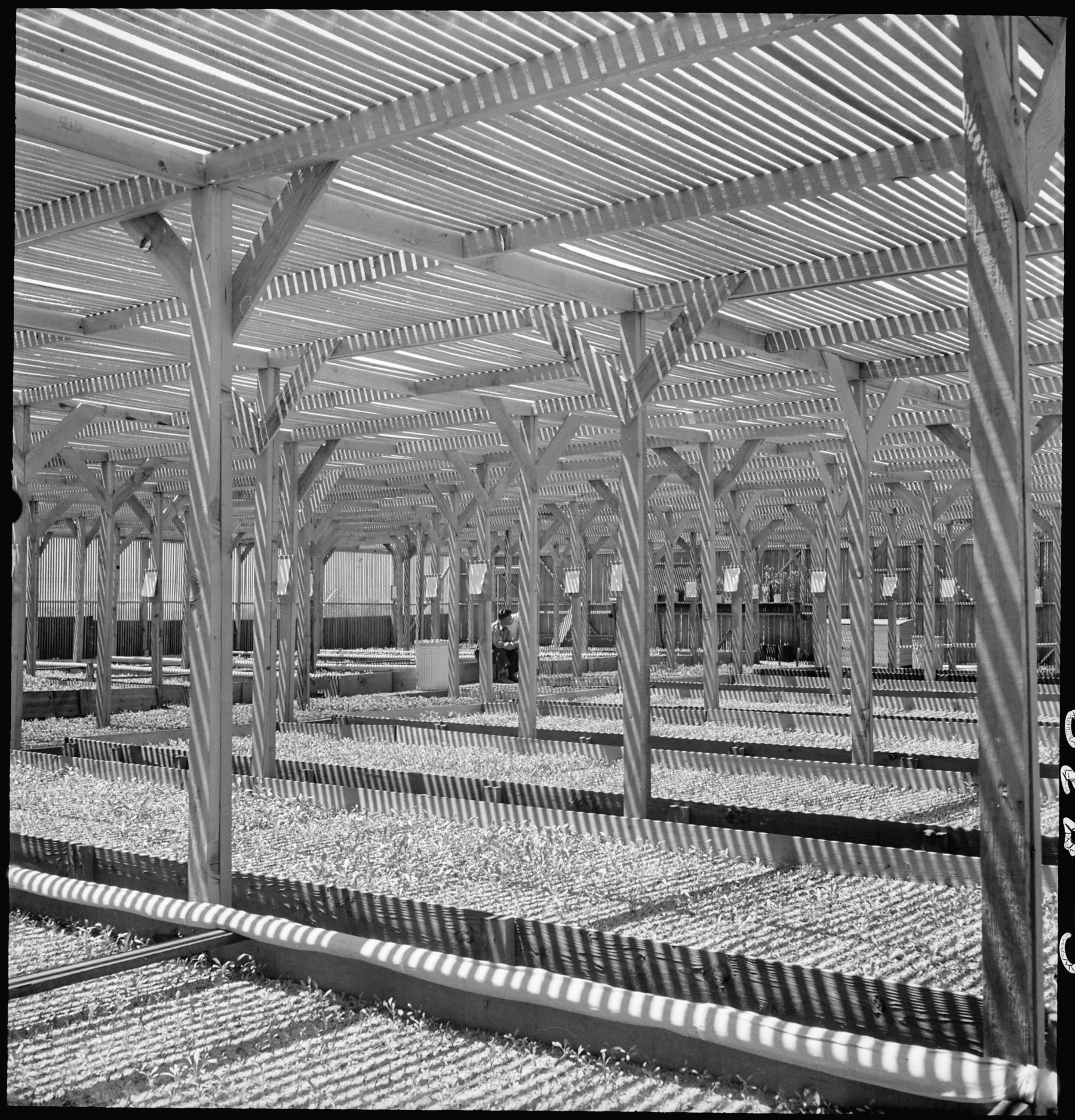 Manzanar Relocation Center, Manzanar, California. A view of section of the lath house at this War R . . .