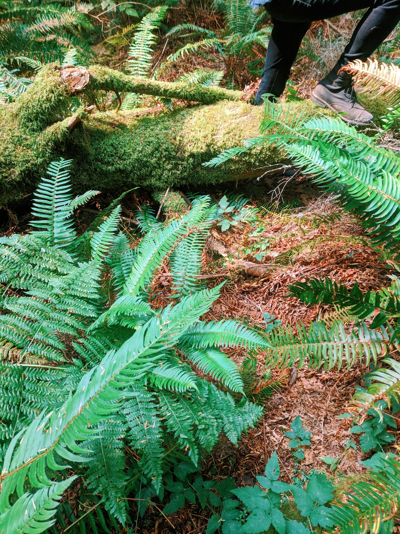 sword ferns and mossy logs