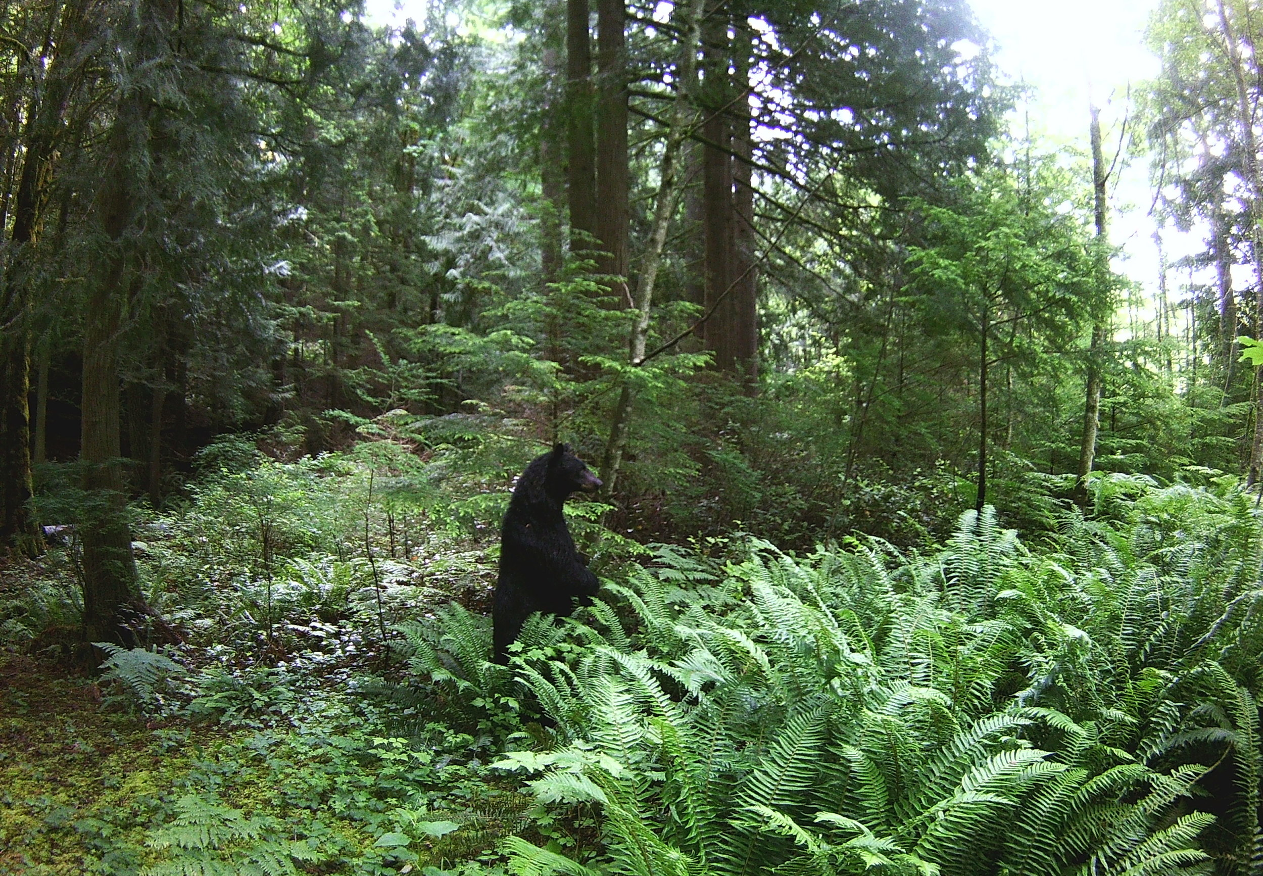 Black Bear, wildlife camera