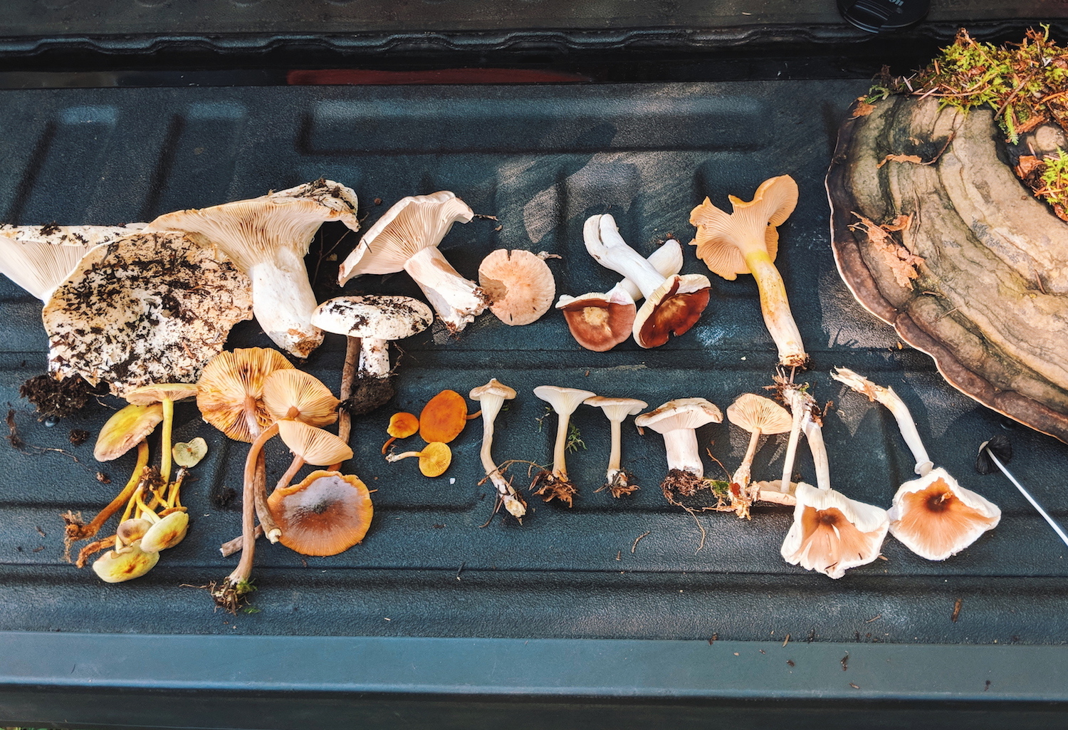 We're still trying to identify all of them, but I believe the reddish ones are  Russula Atropurpurea , the little black one is a type of ink cap, and I'm almost positive the light orange one in the upper right corner is a golden chanterelle.