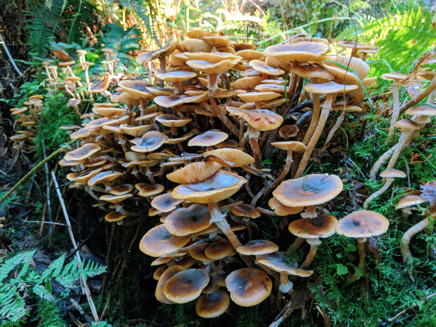 These are either  Gymnopus  or  Armillaria  aka   honey mushrooms. We didn't take a spore print of these so we can't be sure.