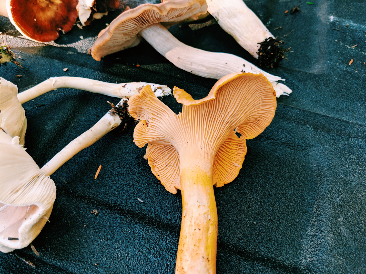 Here's a close-up of What I Believe is a chanterelle.