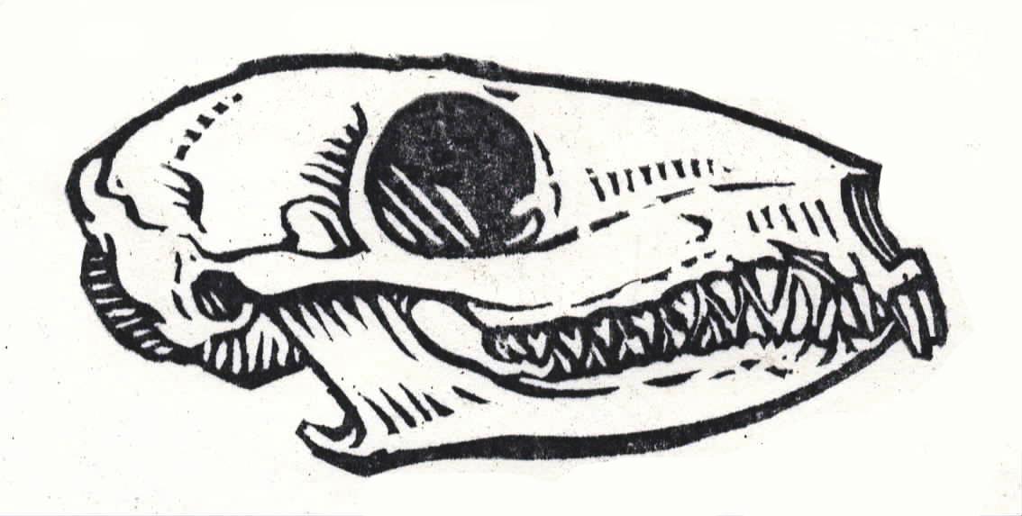 Tree shrew skull