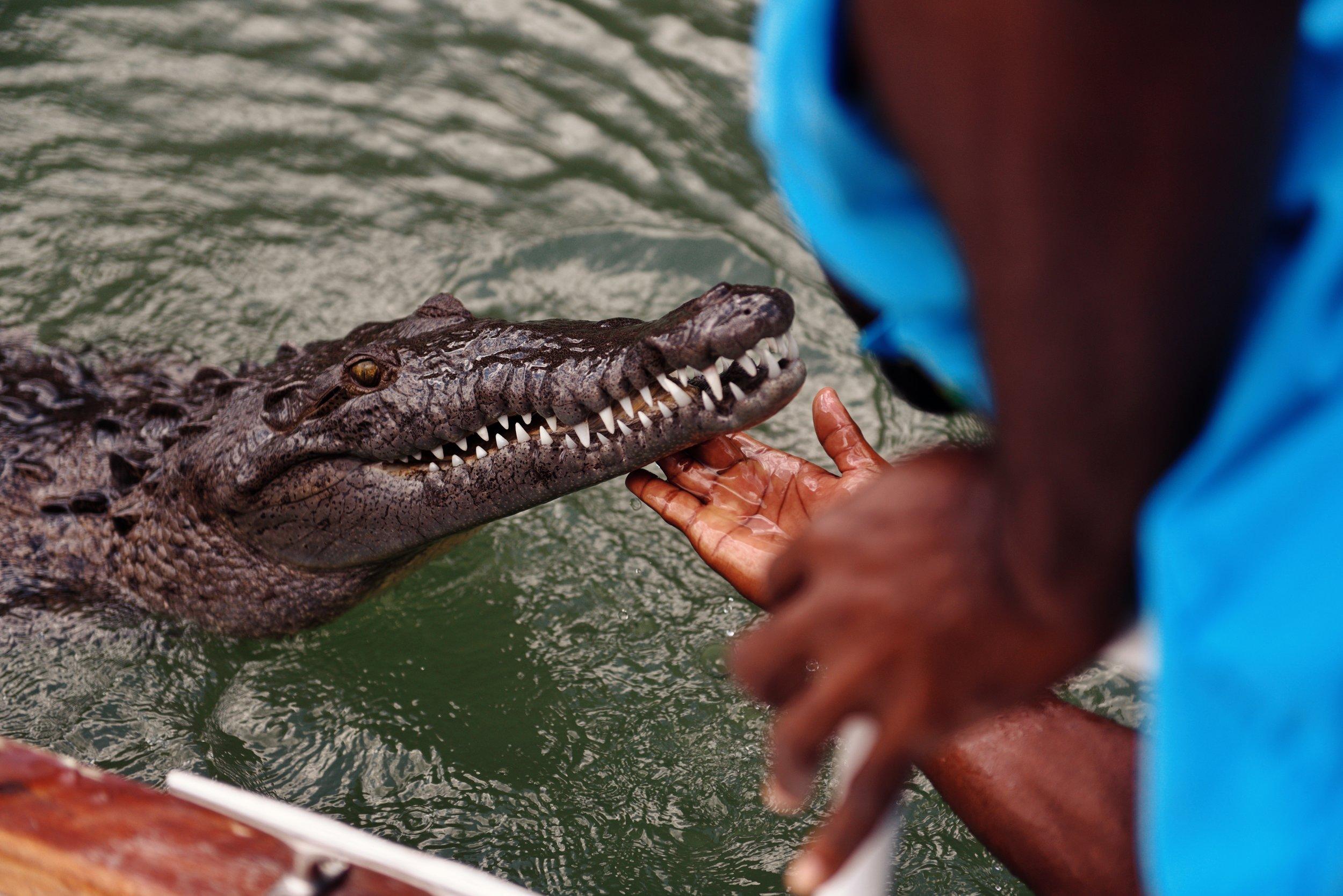 crocodile black river Jamaica