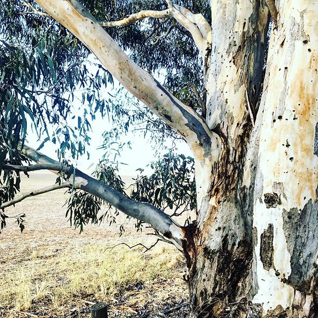 Saturday Afternoon #gumtree #australia #southaustralia #visitburra #midnorth #rural