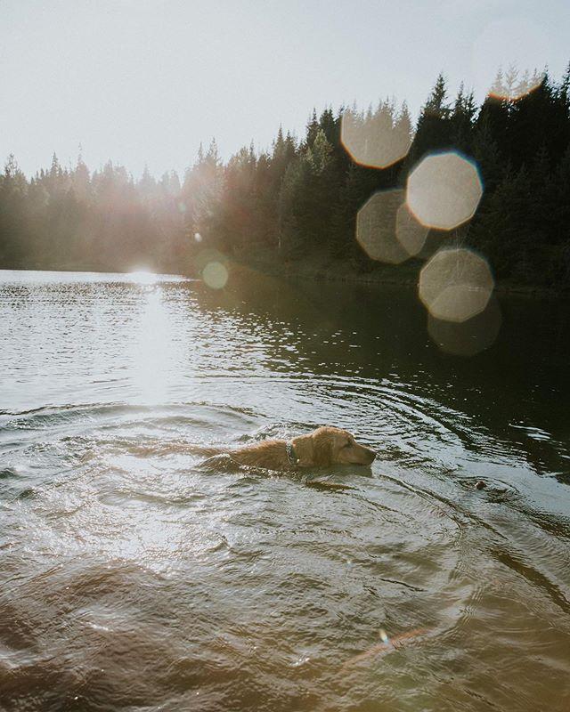 Sunset swim sesh for @waylandandbanjo 🐾 . . . #wildernessadventure #travelgram #northwestlife #northwestisbest #labsofinstagram #doggosbeingdoggos #pacificnorthwest #wildernessadventure #sunset #sunset_pics #adventurepup #beautifulpnw #dogsonadventure #adventureswithdogs #hikingwithdogs #hikingadventures #pnwonderdogs