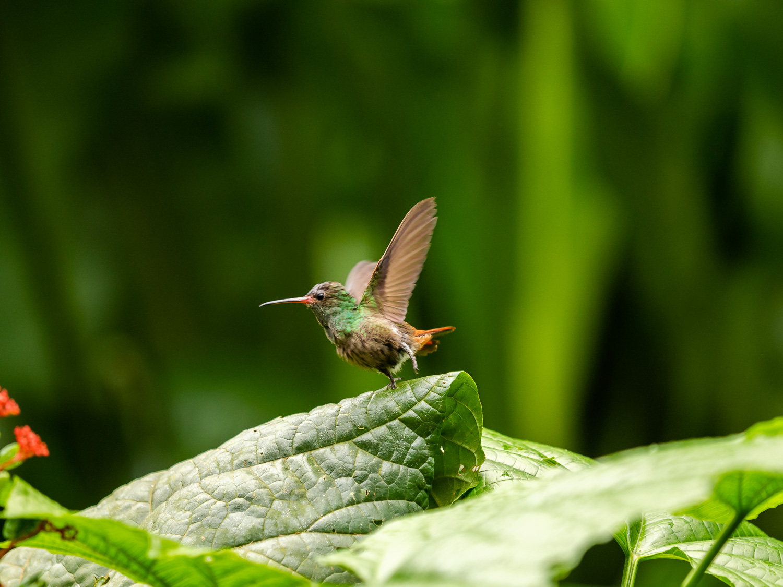 Rufous-Tailed Hummingbird.La Fortuna, Costa Rica.