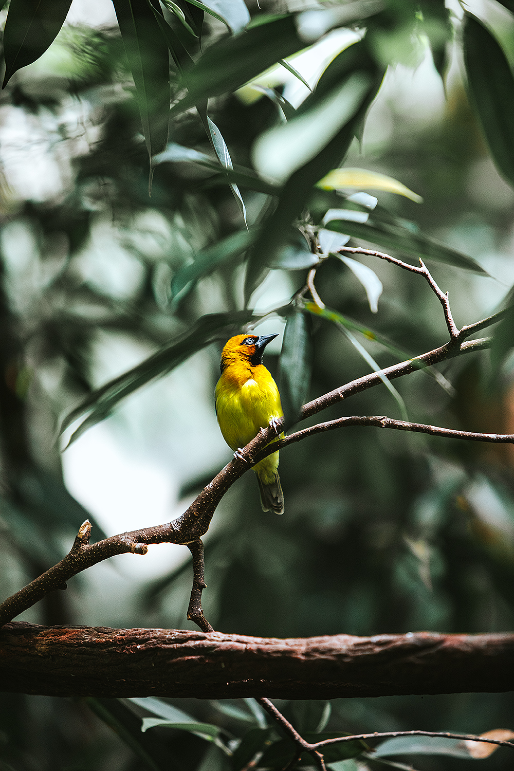 Black - Necked Weaver