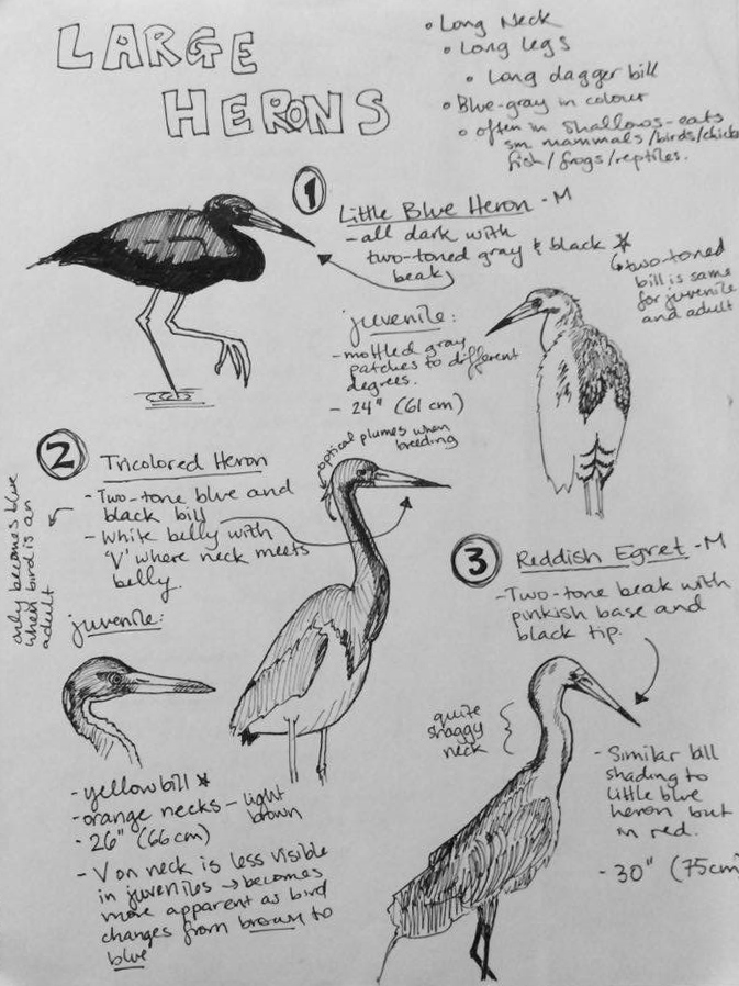 Some of the beautiful herons that inhabit the lowland canal systems of Costa Rica's NE Caribbean coast.
