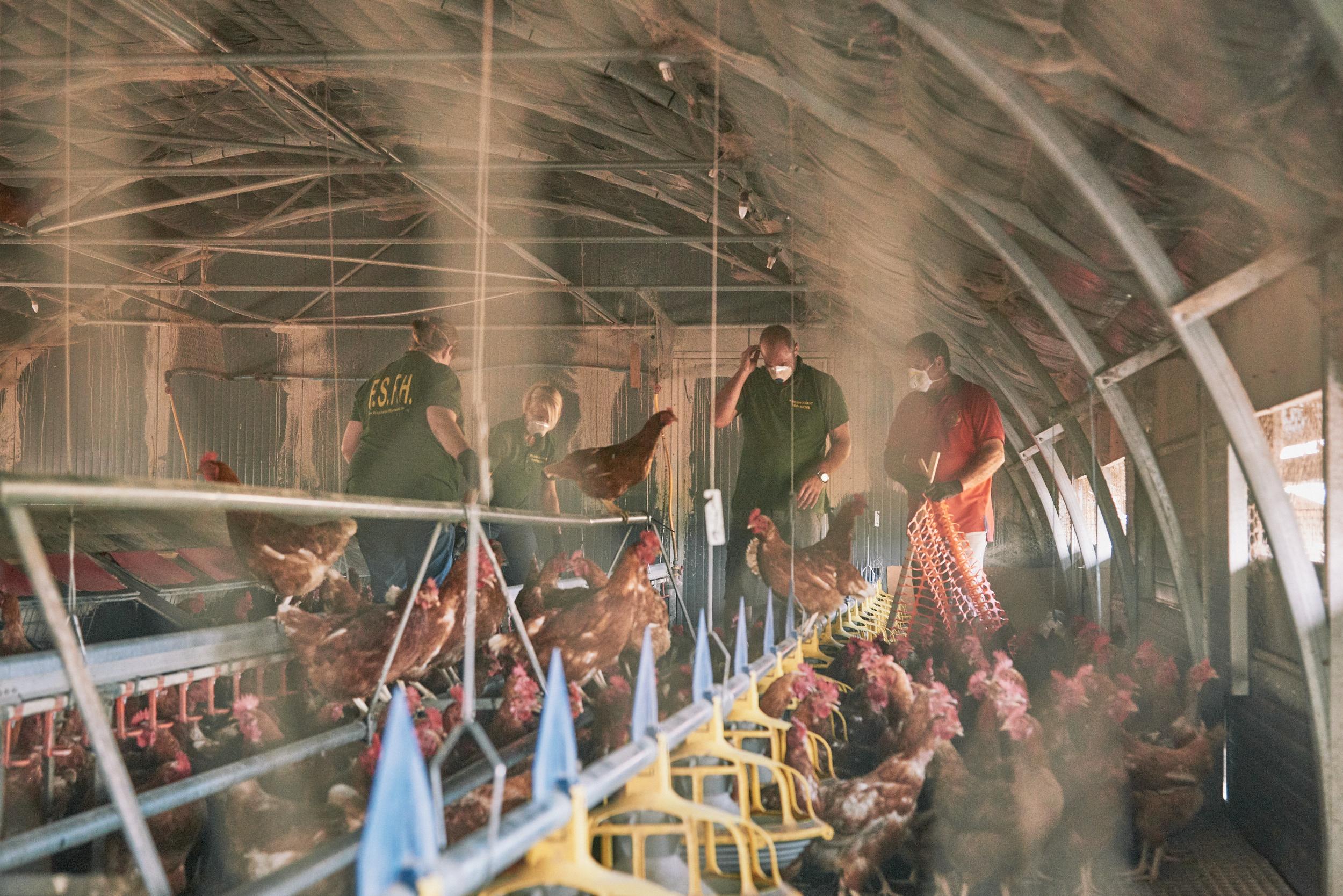 rookery-farm-organic-eggs-FSFH-rehoming15.jpg