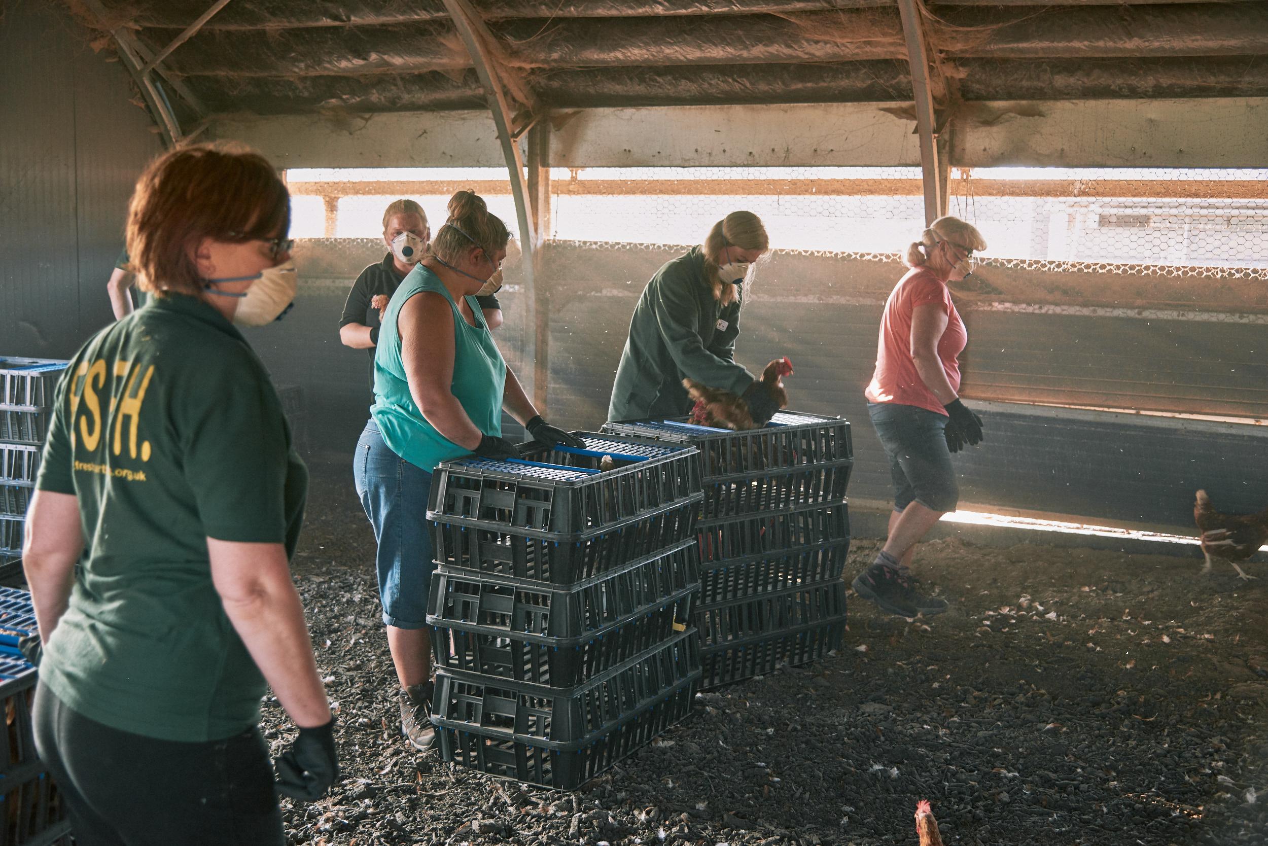 rookery-farm-organic-eggs-FSFH-rehoming17.jpg
