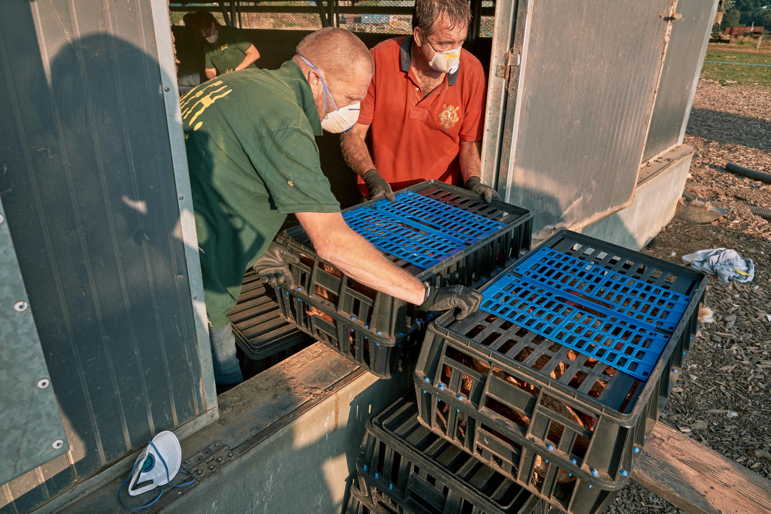 rookery-farm-organic-eggs-FSFH-rehoming24.jpg