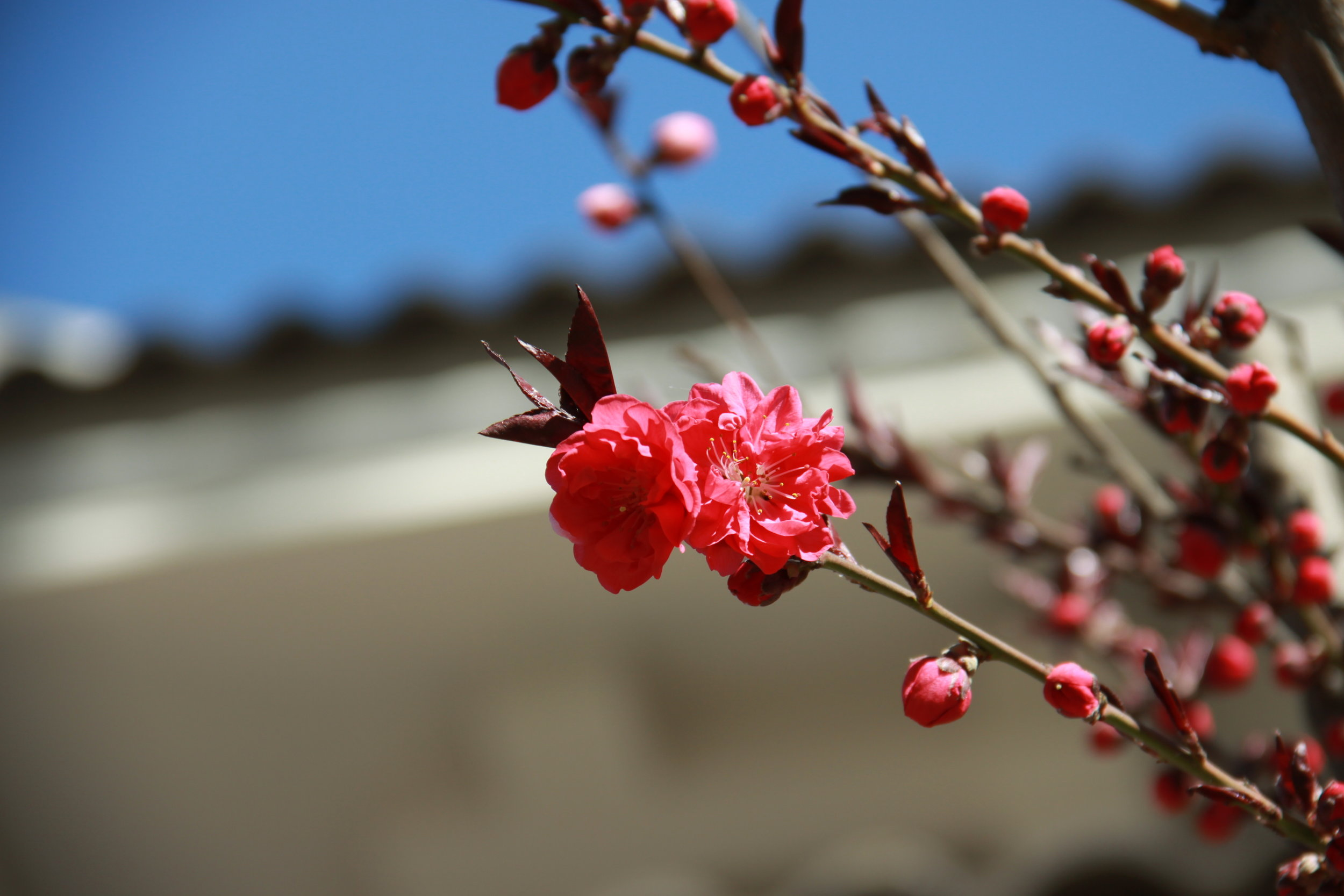 Plum flower early spring