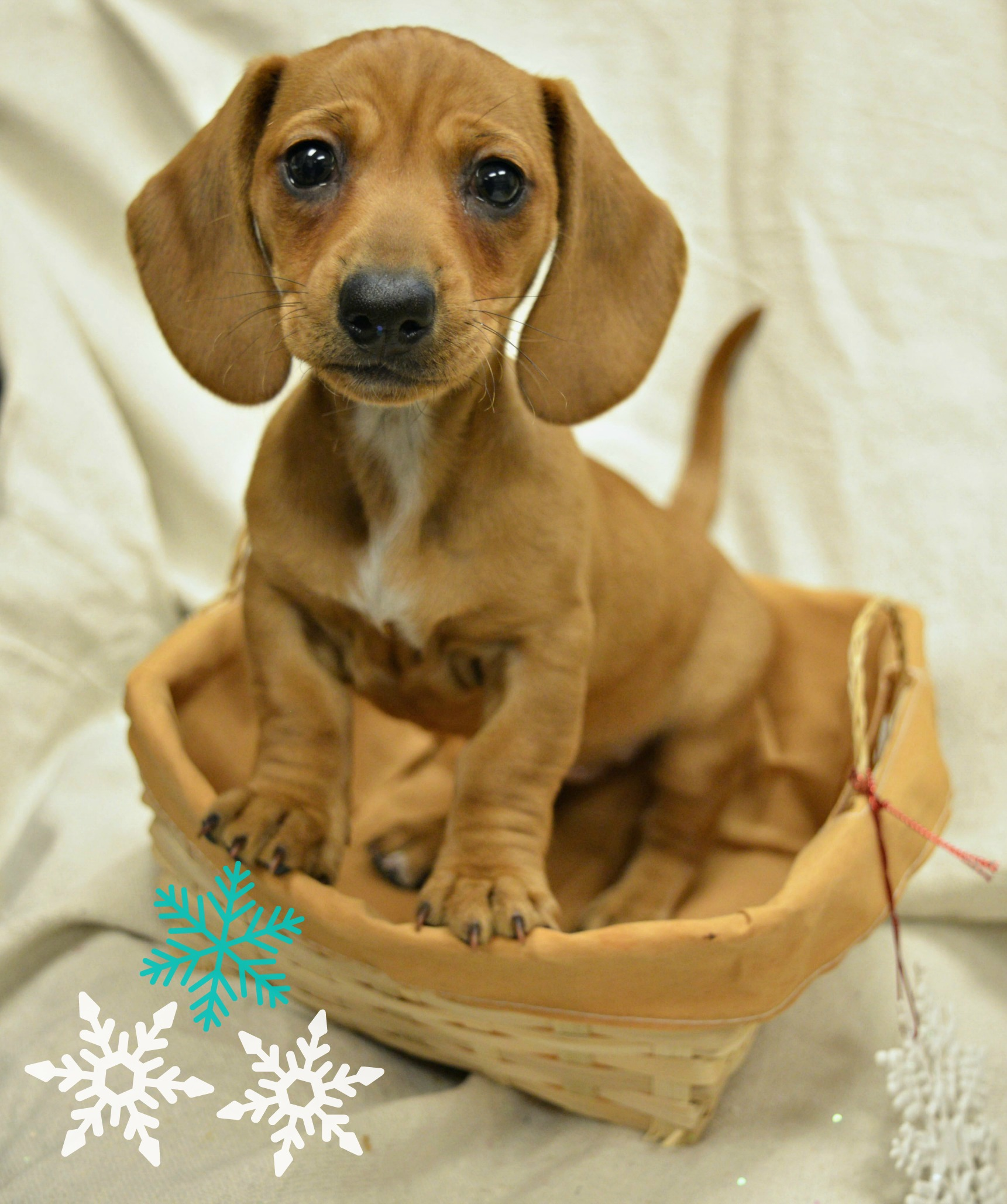 Tulip_Hinterman_Puppy_Edit_WCAH__Snowflakes_Holidays2016.jpg